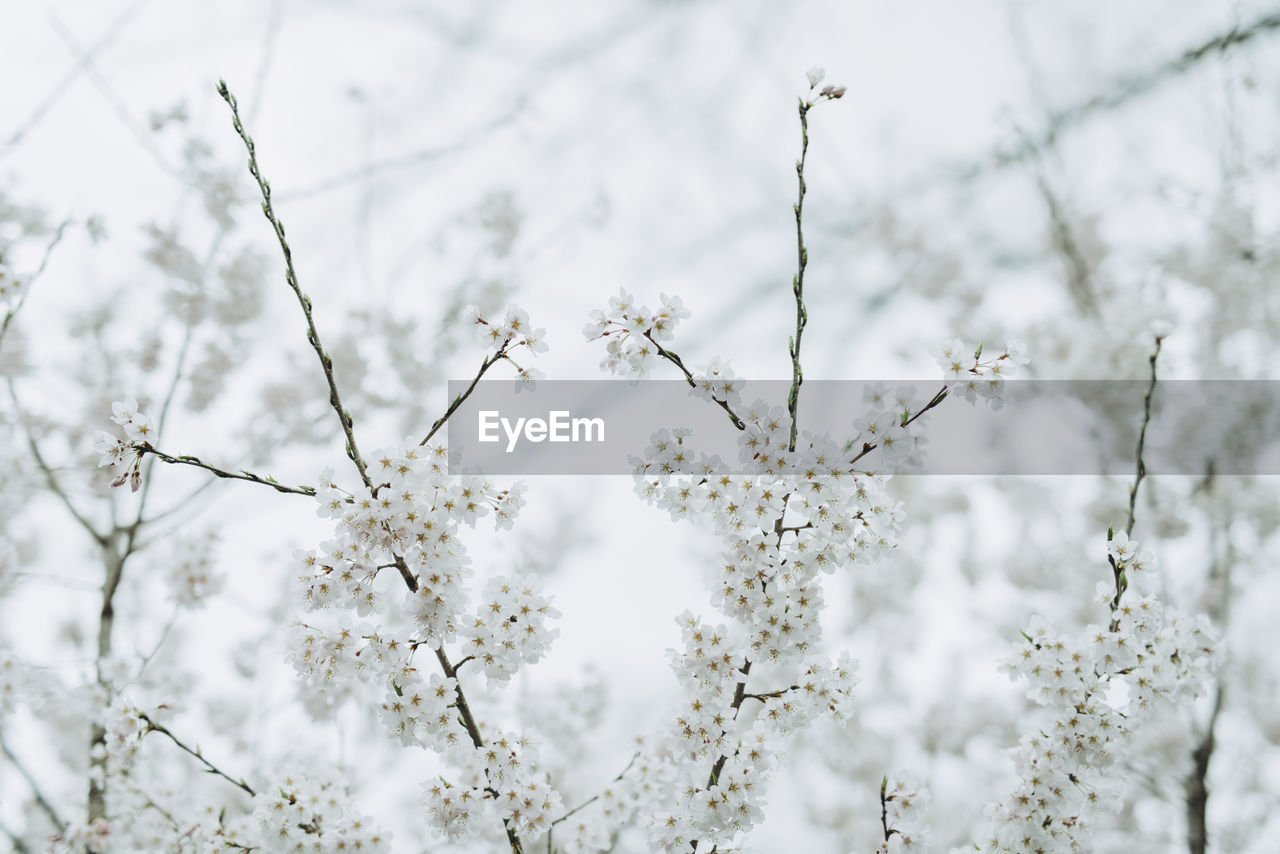 flower, fragility, nature, white color, tree, blossom, growth, beauty in nature, apple blossom, apple tree, branch, springtime, botany, freshness, no people, day, outdoors, winter, low angle view, snow, close-up, flower head
