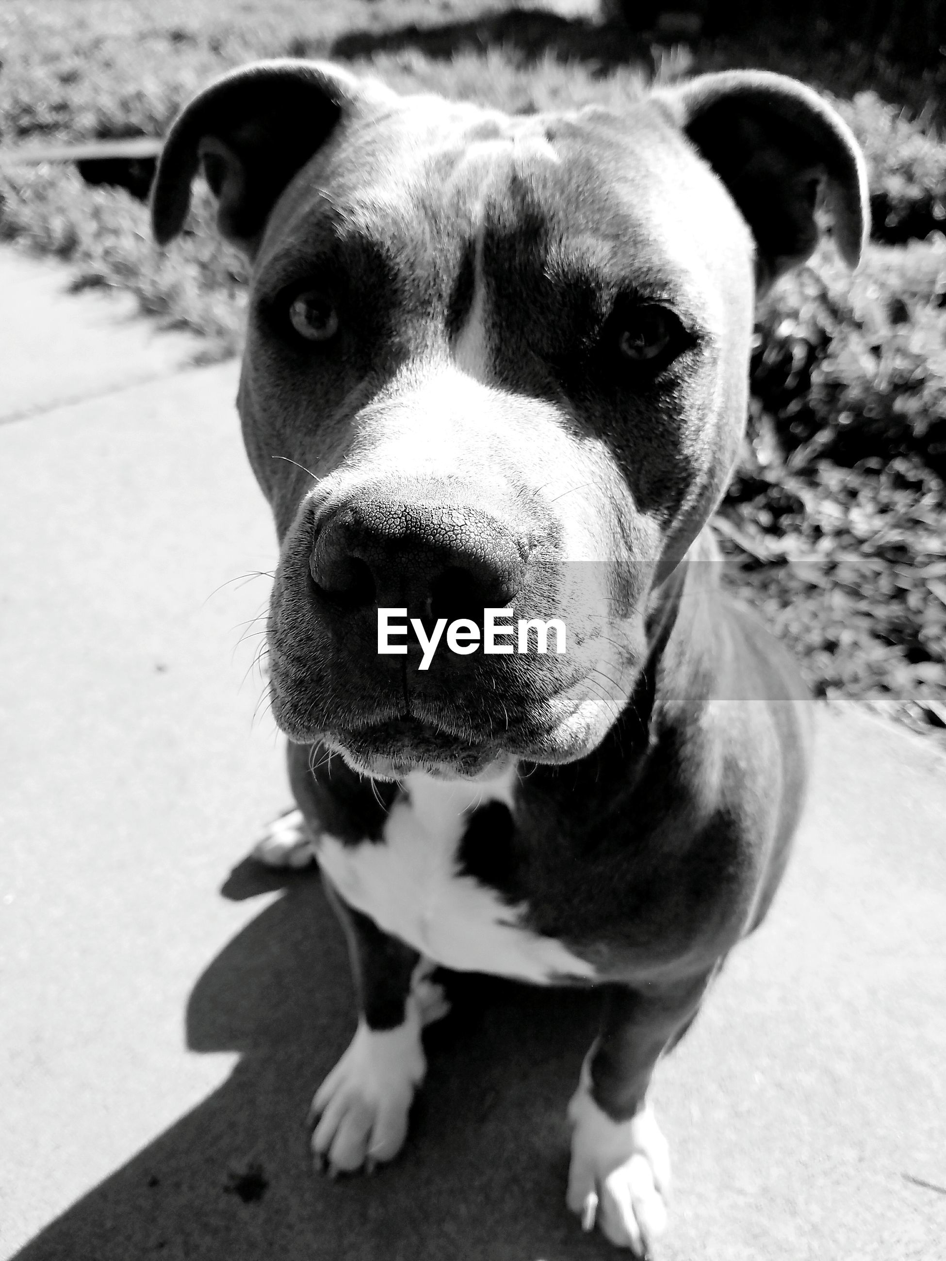 one animal, pets, animal themes, domestic animals, dog, mammal, looking at camera, portrait, close-up, no people, outdoors, day