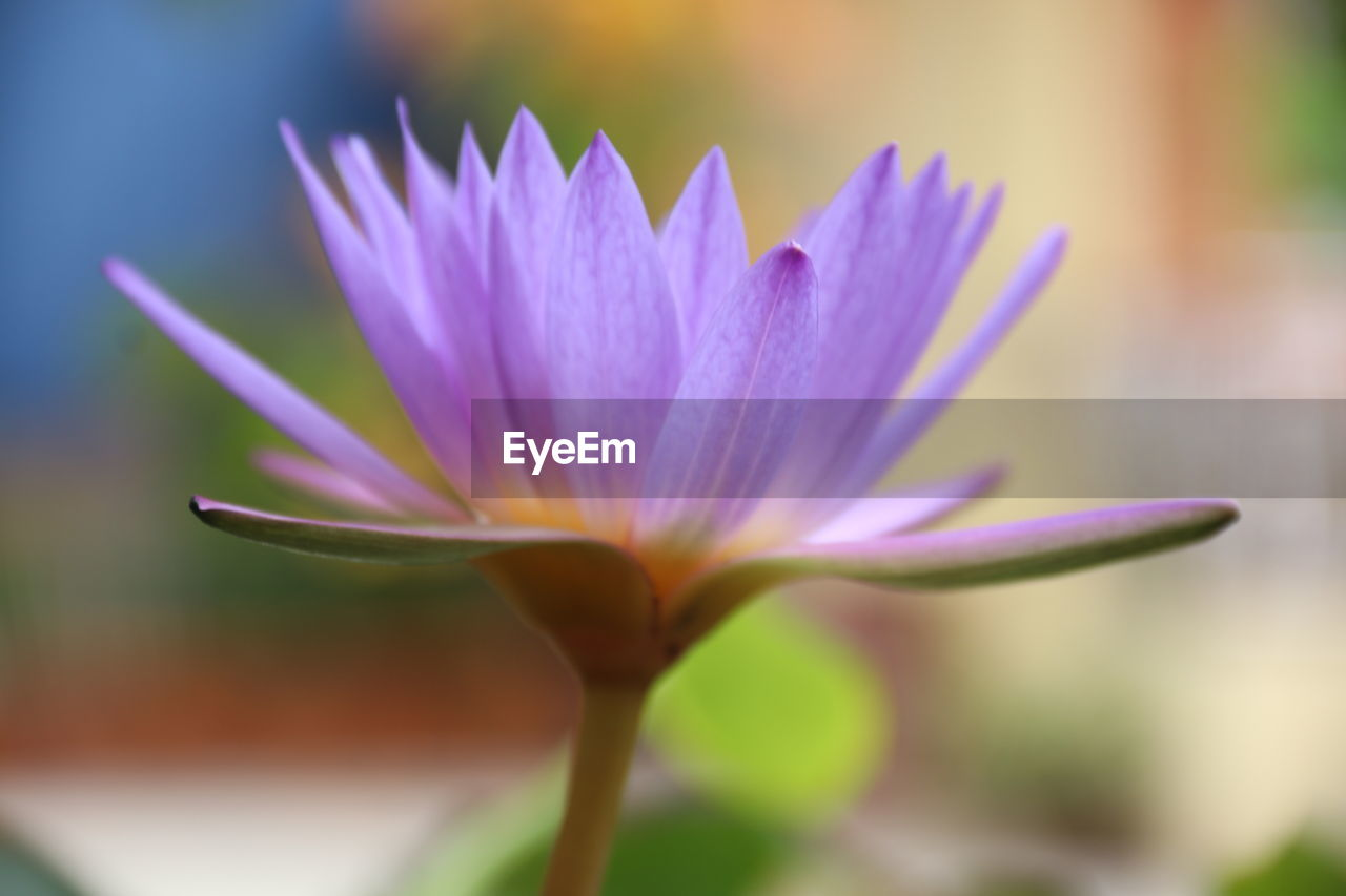 flowering plant, flower, beauty in nature, vulnerability, freshness, plant, fragility, close-up, petal, growth, focus on foreground, inflorescence, flower head, no people, nature, selective focus, purple, day, outdoors, crocus, sepal