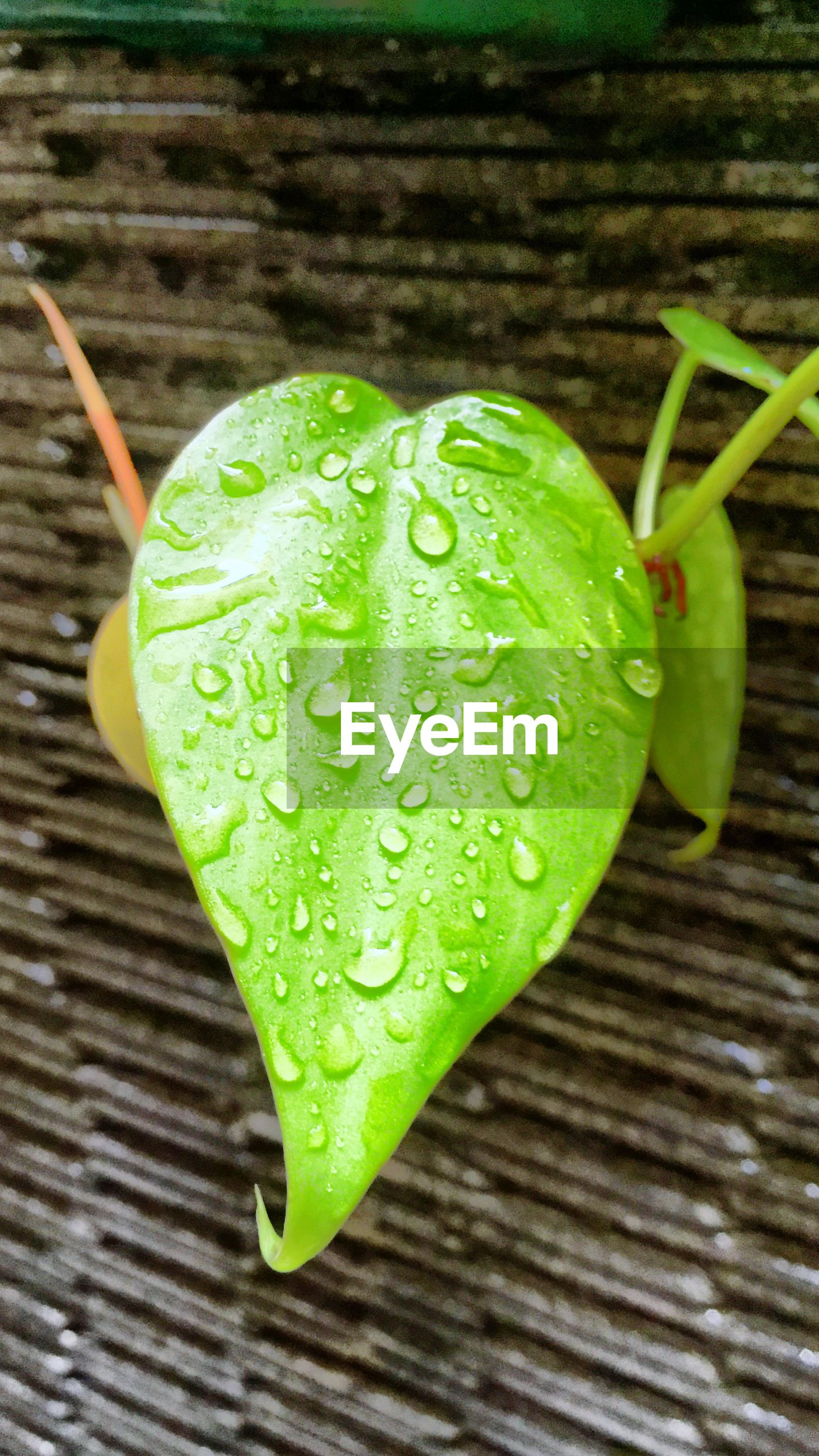 green color, leaf, close-up, leaf vein, drop, freshness, wet, green, water, high angle view, growth, nature, focus on foreground, selective focus, wood - material, no people, day, dew, natural pattern, fragility