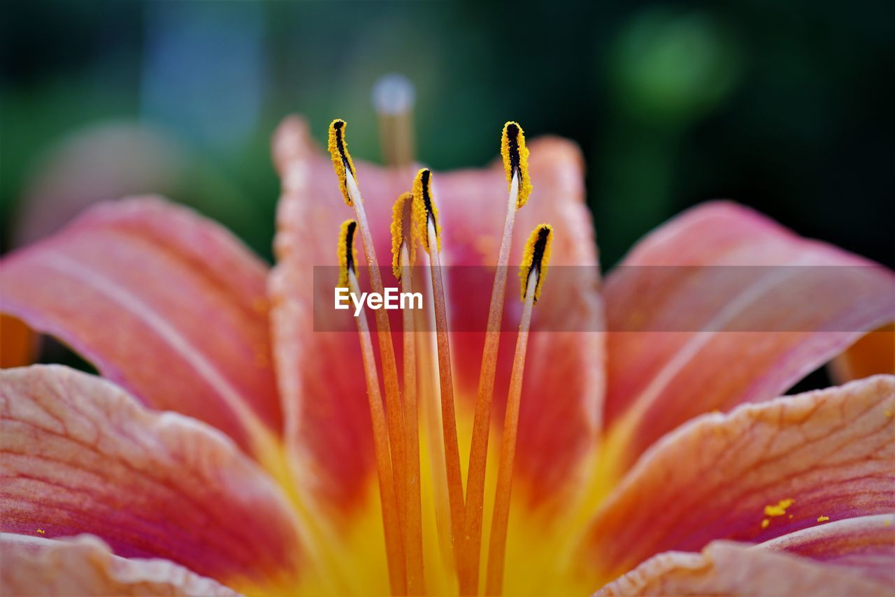vulnerability, fragility, flower, flowering plant, close-up, freshness, petal, beauty in nature, flower head, inflorescence, growth, plant, pollen, orange color, stamen, selective focus, botany, lily, no people