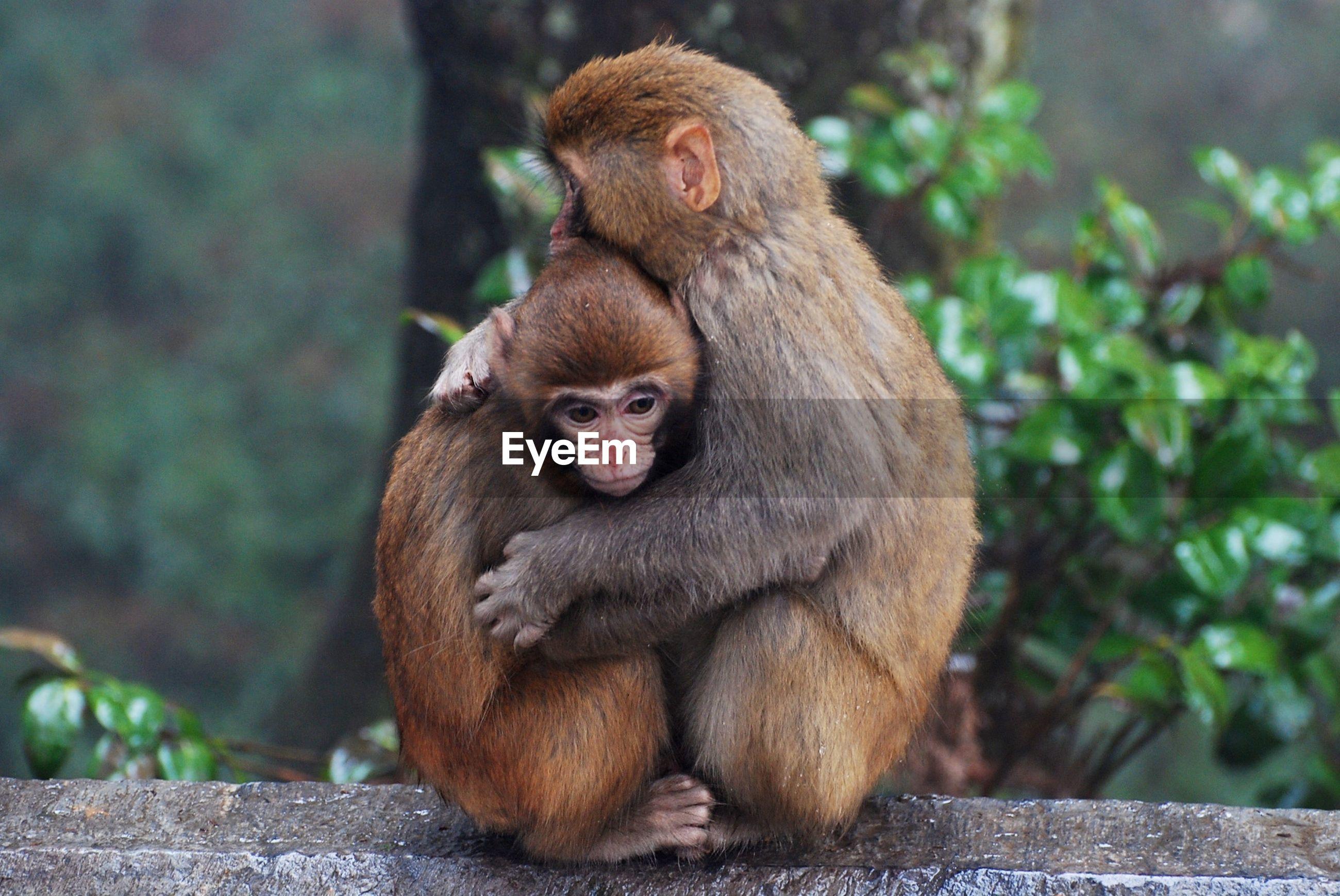 Monkeys hugging on railing