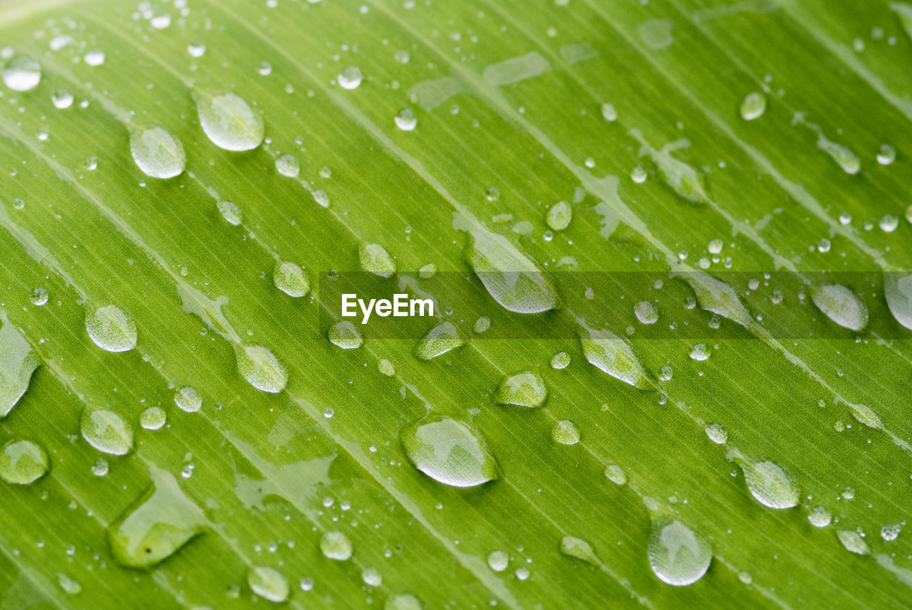 drop, green color, leaf, plant part, wet, water, close-up, freshness, nature, beauty in nature, plant, no people, full frame, banana leaf, rain, backgrounds, palm leaf, palm tree, dew, outdoors, leaves, purity, raindrop