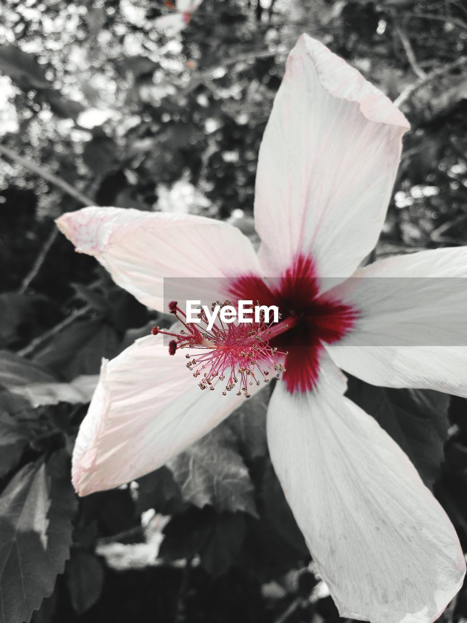 flower, petal, flower head, fragility, beauty in nature, nature, pollen, white color, growth, freshness, close-up, stamen, blooming, no people, day, outdoors, hibiscus, plant