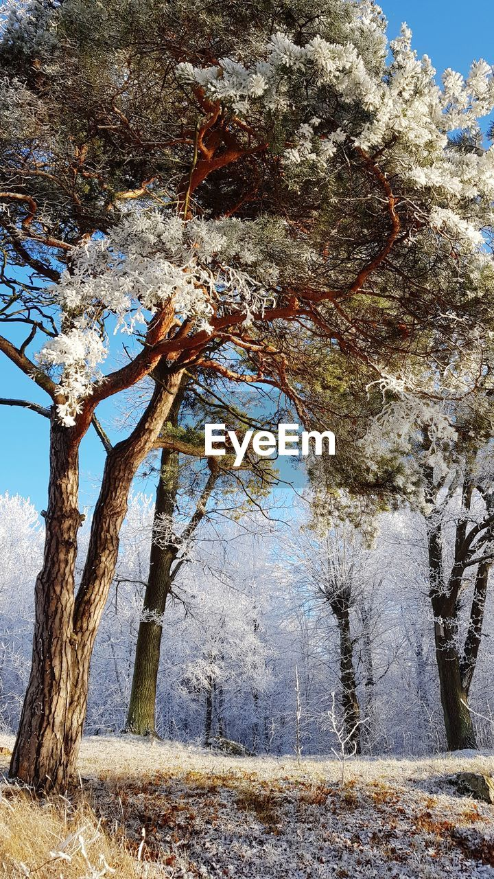 tree, plant, beauty in nature, nature, tranquility, snow, winter, cold temperature, day, land, no people, tree trunk, trunk, growth, outdoors, tranquil scene, scenics - nature, environment, branch