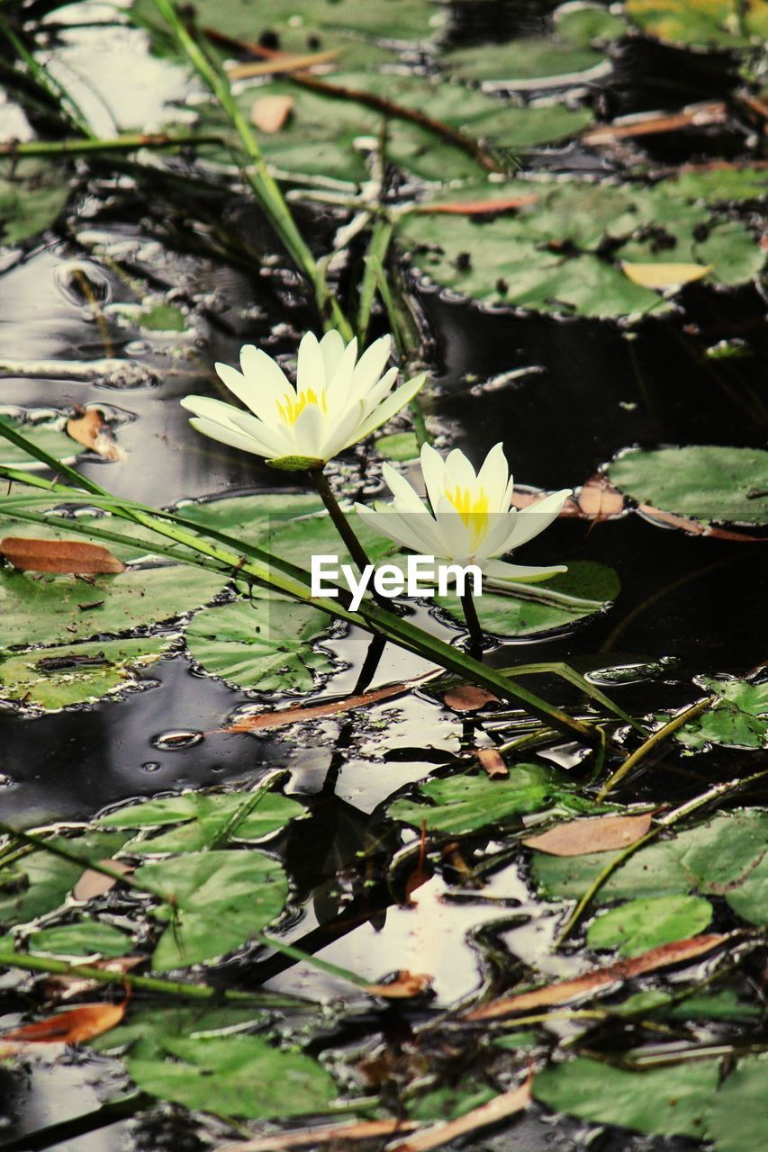 flower, growth, nature, petal, fragility, beauty in nature, freshness, leaf, flower head, plant, outdoors, day, water lily, no people, blooming, water, close-up, lily pad, lotus water lily