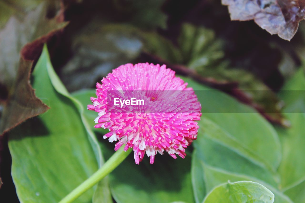 flower, flowering plant, plant, beauty in nature, growth, fragility, vulnerability, freshness, pink color, petal, close-up, flower head, inflorescence, leaf, plant part, nature, focus on foreground, no people, day, outdoors, purple