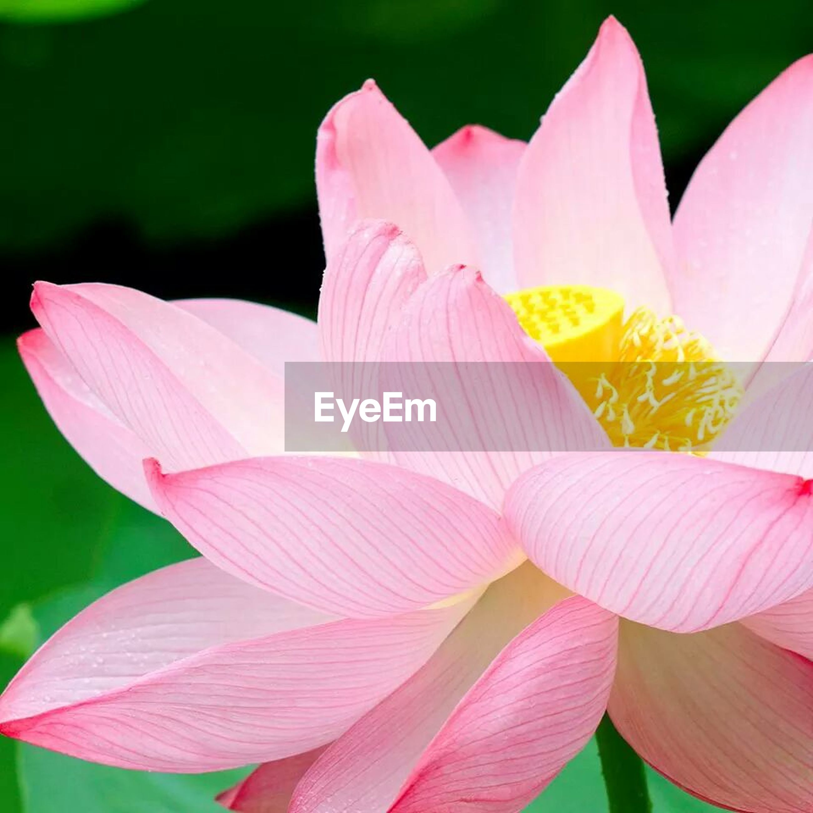 flower, petal, freshness, flower head, fragility, pink color, growth, beauty in nature, close-up, nature, focus on foreground, blooming, stamen, single flower, plant, pollen, in bloom, blossom, stem, pink