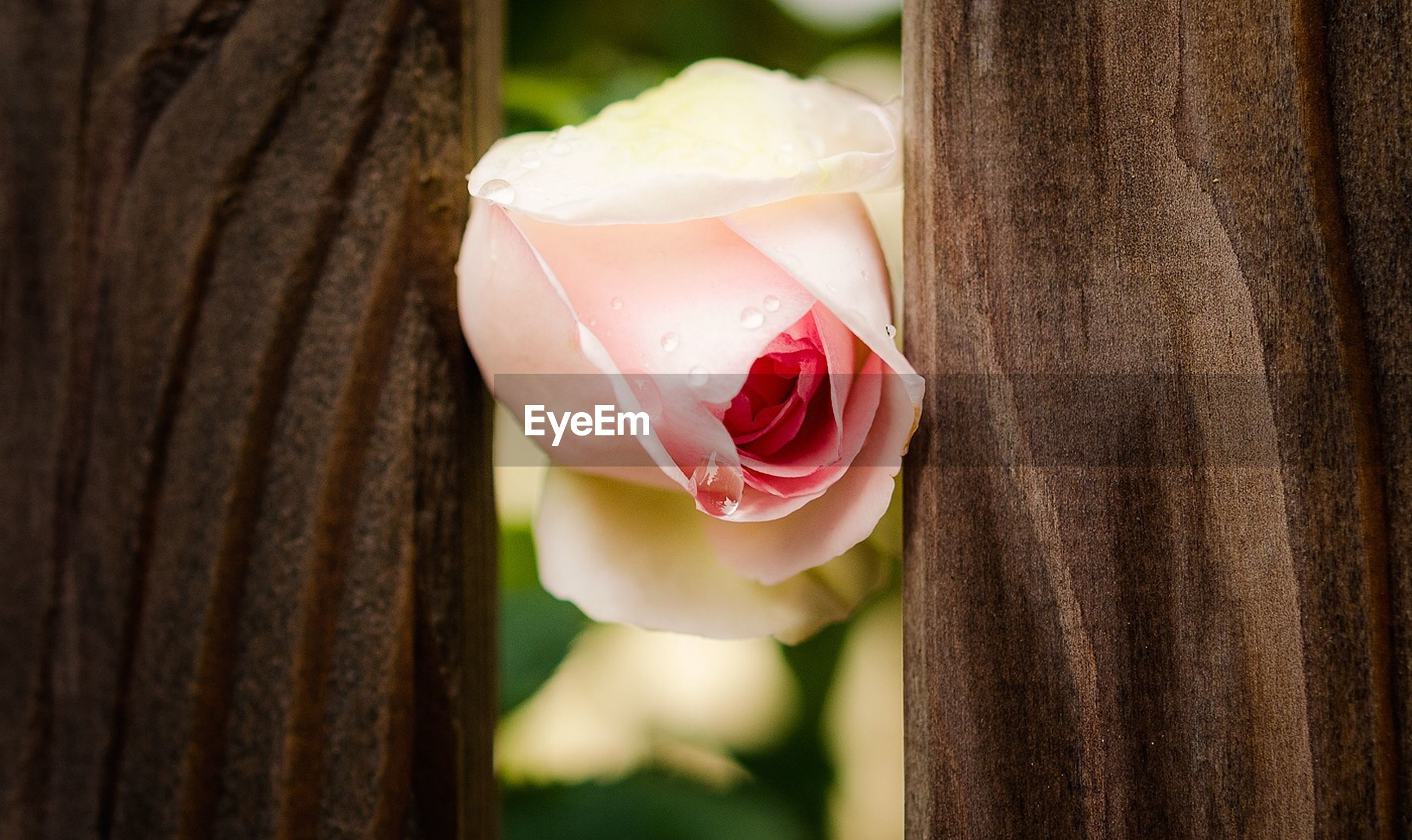 Close-up of pink flower in between wooden plank