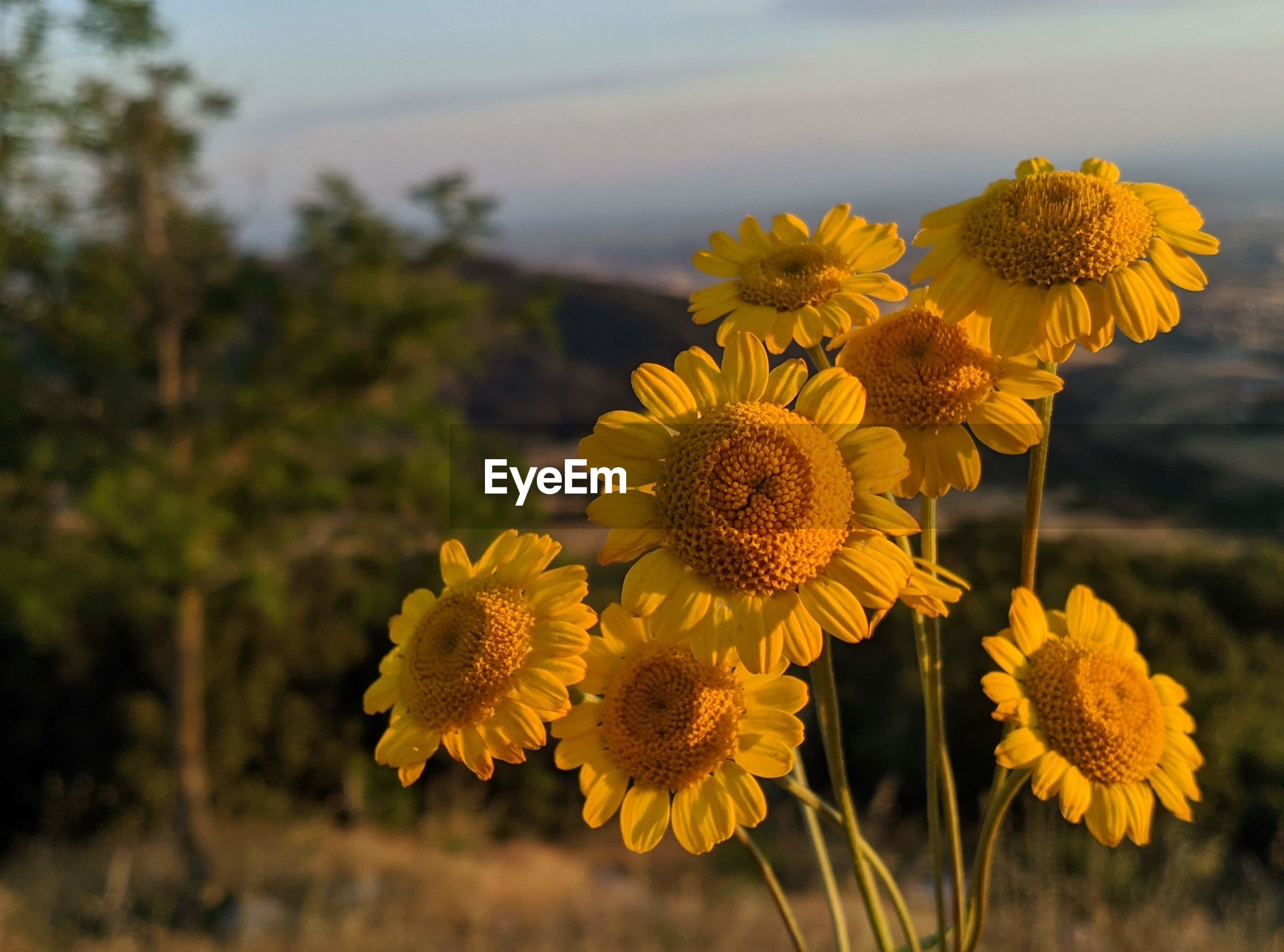 CLOSE-UP OF YELLOW FLOWERING PLANT DURING SUNSET