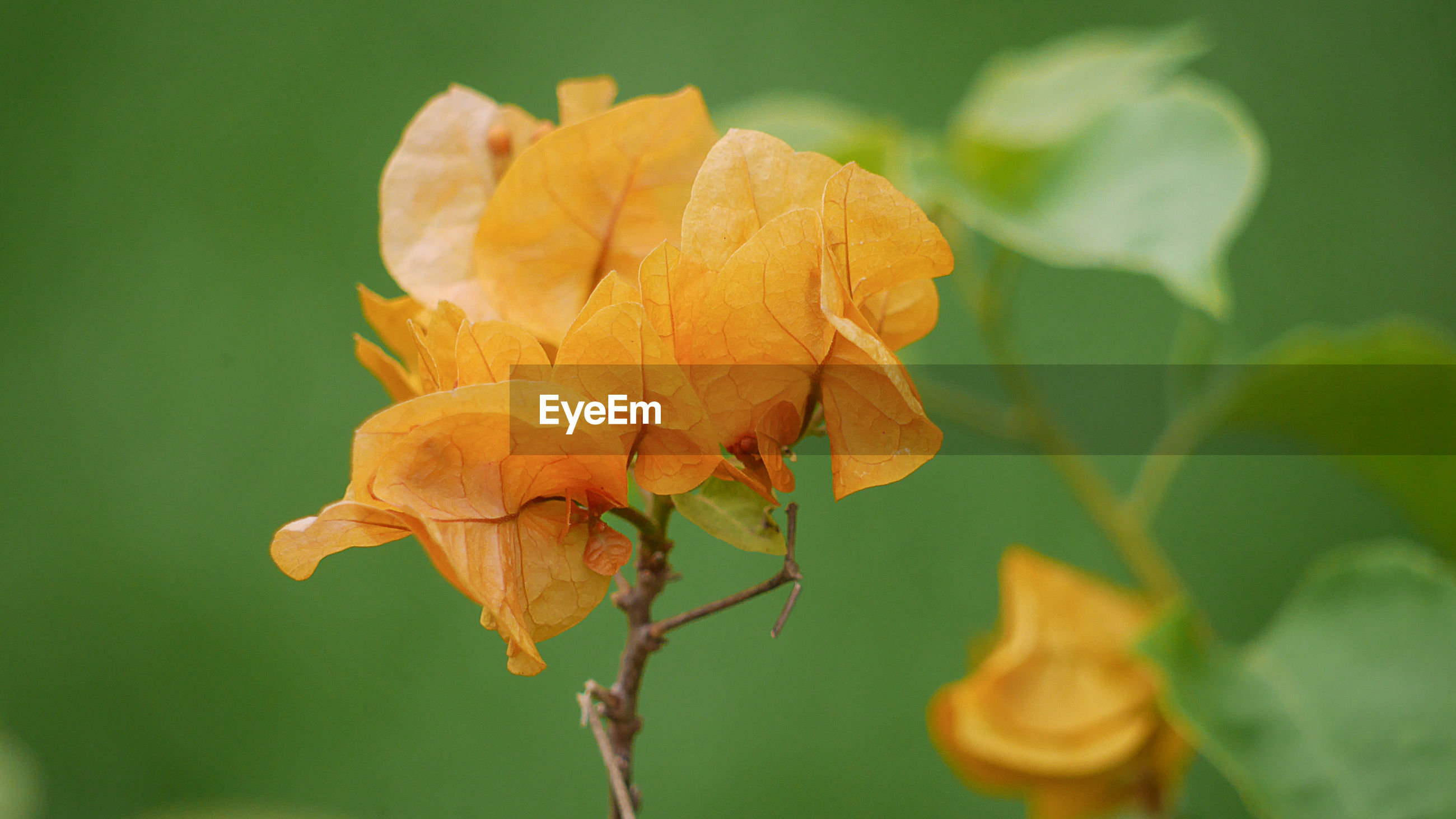 CLOSE-UP OF WILTED ORANGE FLOWER PLANT