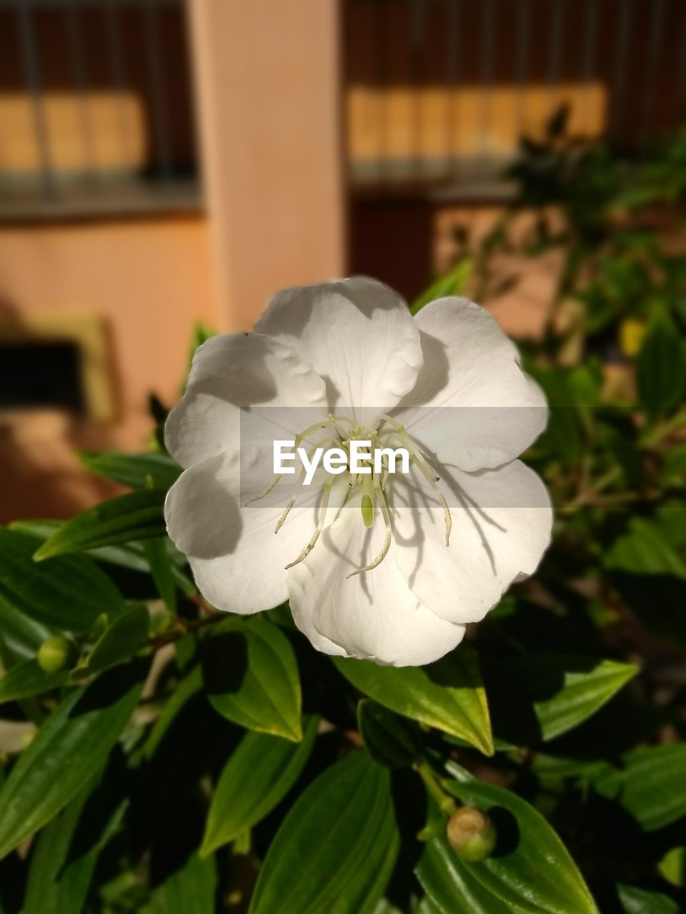 plant, flower, flowering plant, beauty in nature, vulnerability, freshness, fragility, white color, flower head, close-up, petal, inflorescence, growth, focus on foreground, nature, plant part, leaf, no people, day, outdoors, pollen
