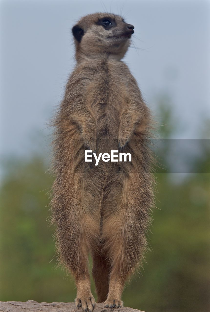 mammal, one animal, animal wildlife, animals in the wild, vertebrate, standing, meerkat, focus on foreground, no people, day, nature, rearing up, outdoors, full length, land, looking, looking at camera, herbivorous