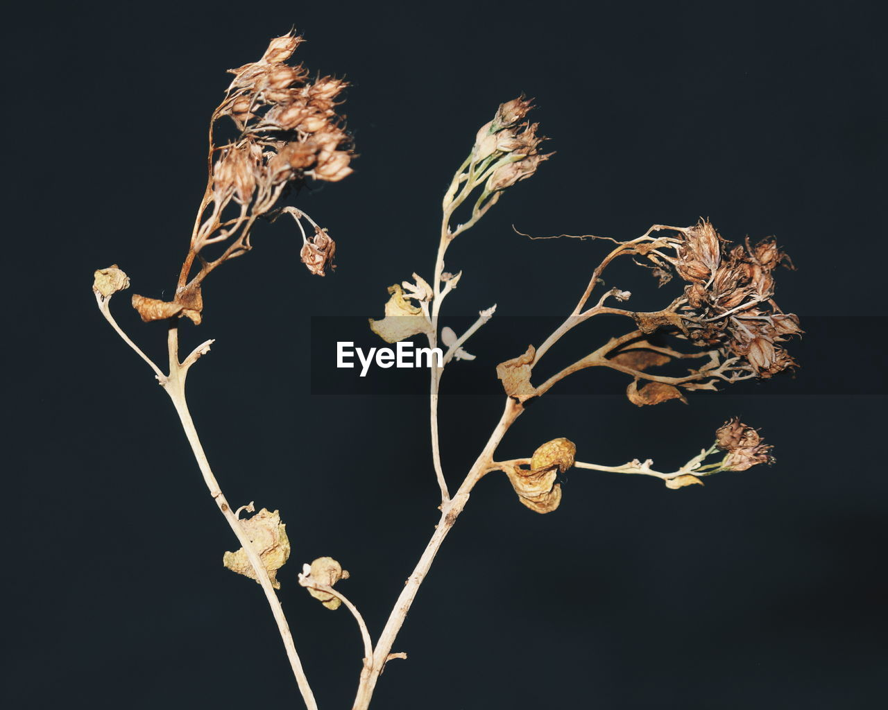 LOW ANGLE VIEW OF DRY FLOWERS AGAINST BLACK BACKGROUND