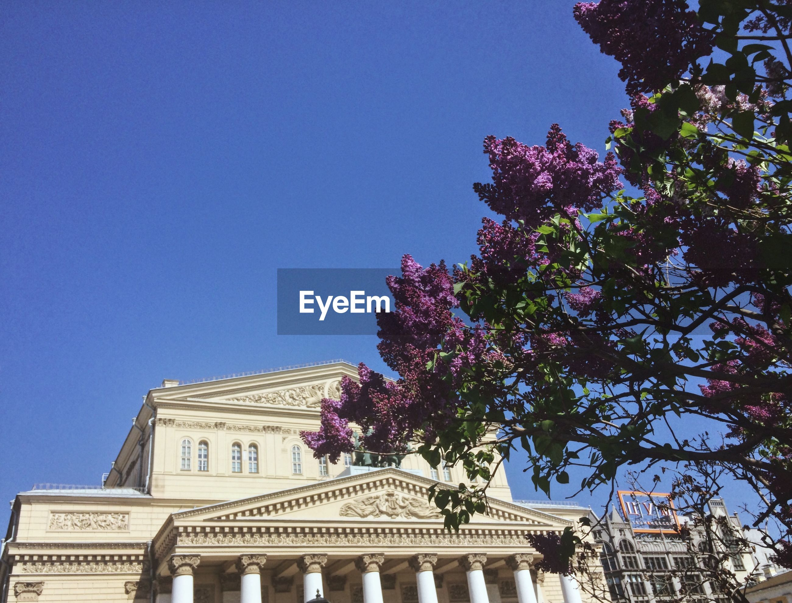LOW ANGLE VIEW OF FLOWERING TREE AGAINST BLUE SKY AND BUILDING