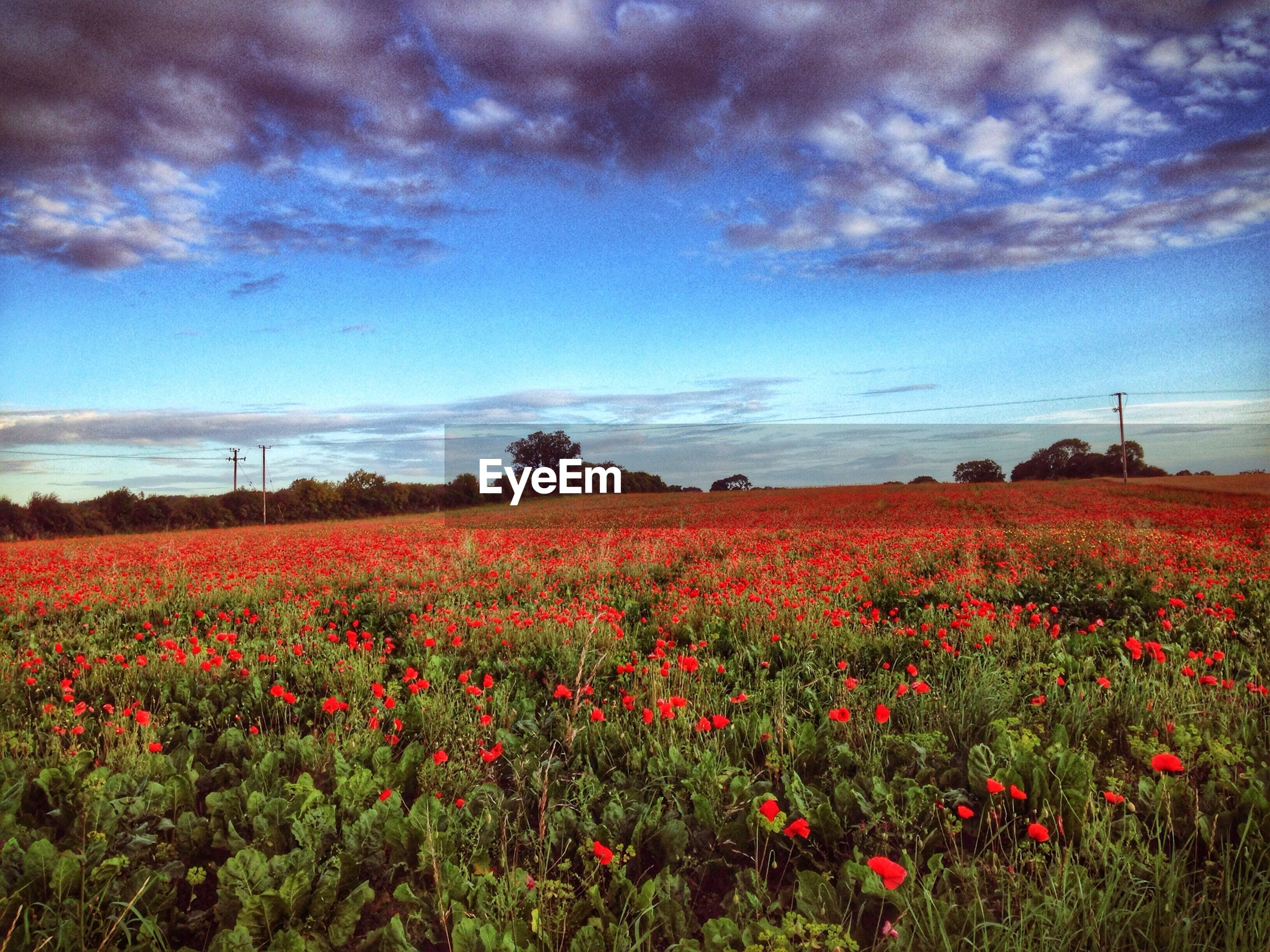Scenic view of red flowering field against cloudy sky
