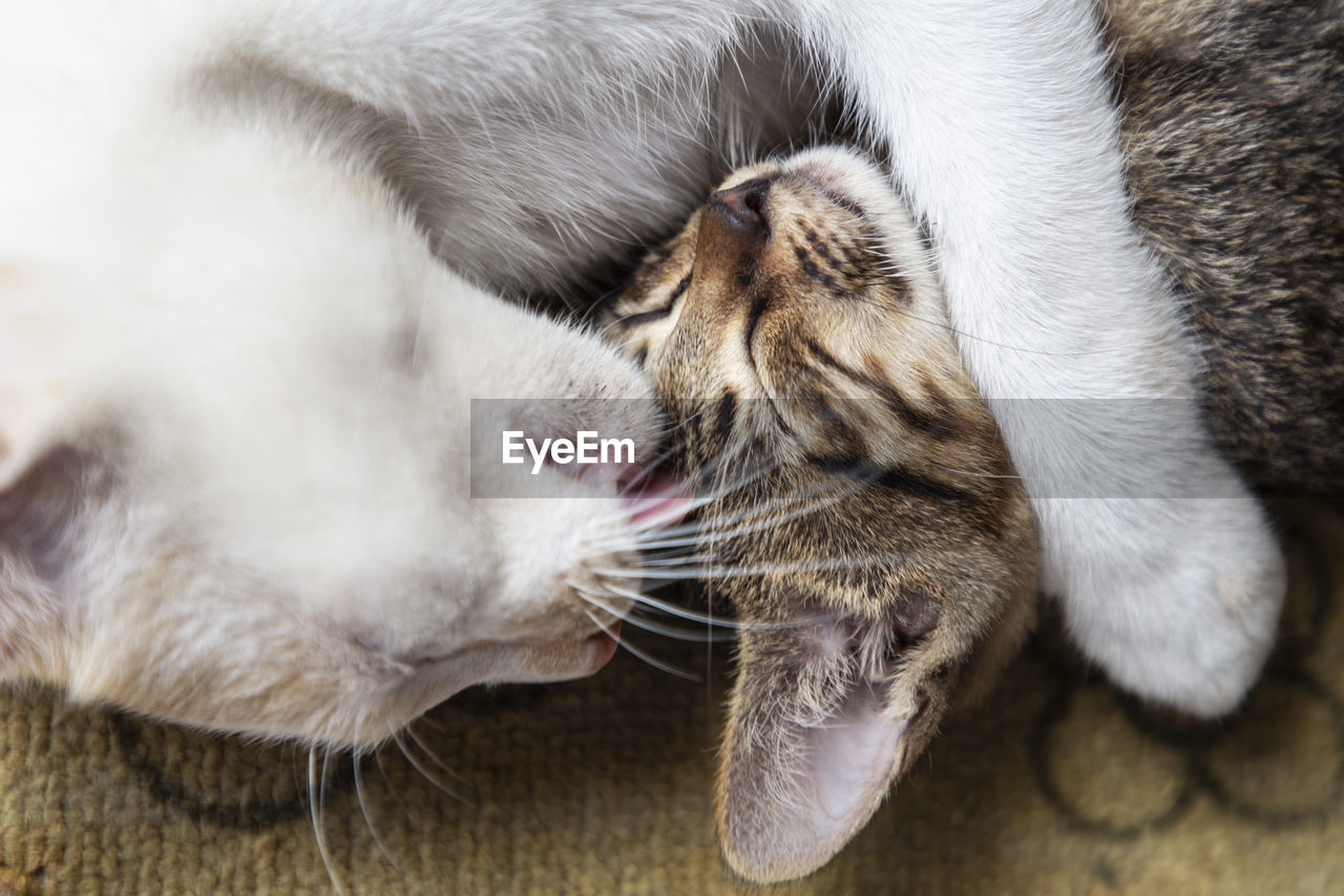 cat, domestic cat, domestic, mammal, animal themes, pets, animal, feline, domestic animals, one animal, relaxation, vertebrate, eyes closed, indoors, close-up, sleeping, resting, no people, whisker, high angle view, animal head