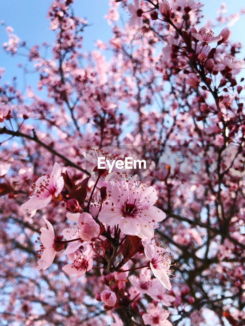 flowering plant, flower, plant, pink color, growth, fragility, freshness, vulnerability, beauty in nature, tree, blossom, cherry blossom, springtime, branch, low angle view, nature, petal, day, cherry tree, close-up, no people, flower head, pollen, outdoors, bunch of flowers, plum blossom, spring
