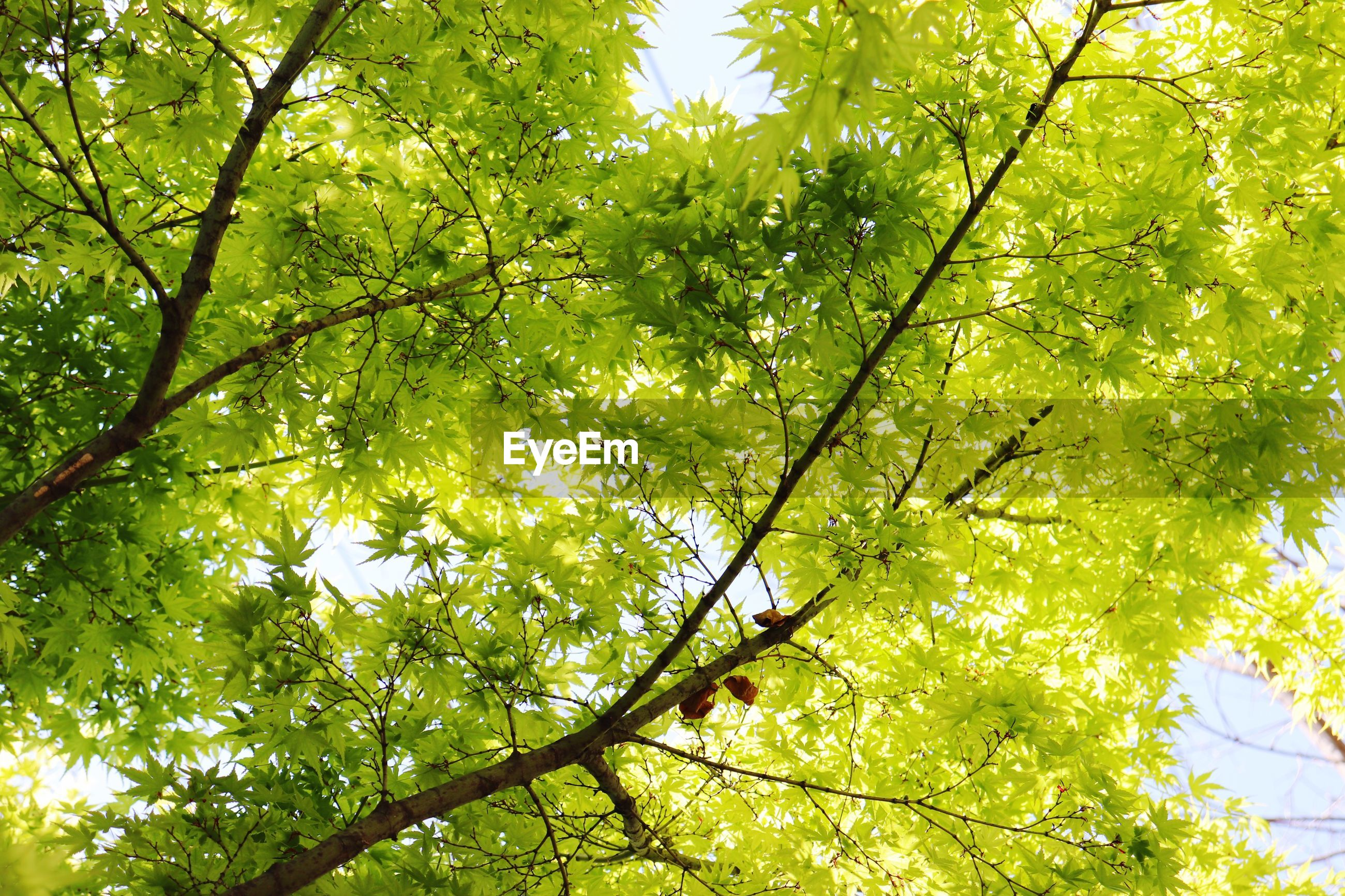 tree, plant, branch, beauty in nature, growth, green color, low angle view, leaf, nature, day, plant part, no people, tranquility, outdoors, sunlight, sky, forest, environment, scenics - nature, backgrounds, tree canopy, leaves, directly below