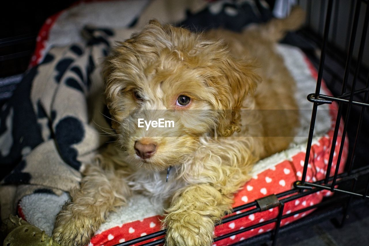 one animal, canine, domestic, dog, pets, domestic animals, animal themes, mammal, animal, vertebrate, looking at camera, relaxation, animal hair, indoors, portrait, no people, hair, cute, furniture, home interior, animal head