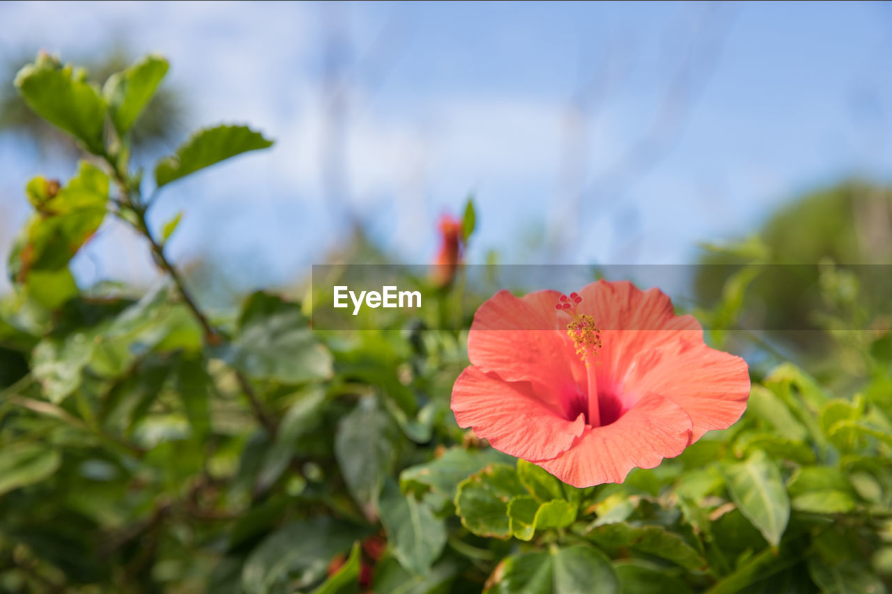 flower, petal, flower head, growth, nature, fragility, beauty in nature, plant, no people, leaf, freshness, blooming, day, green color, red, outdoors, close-up, hibiscus