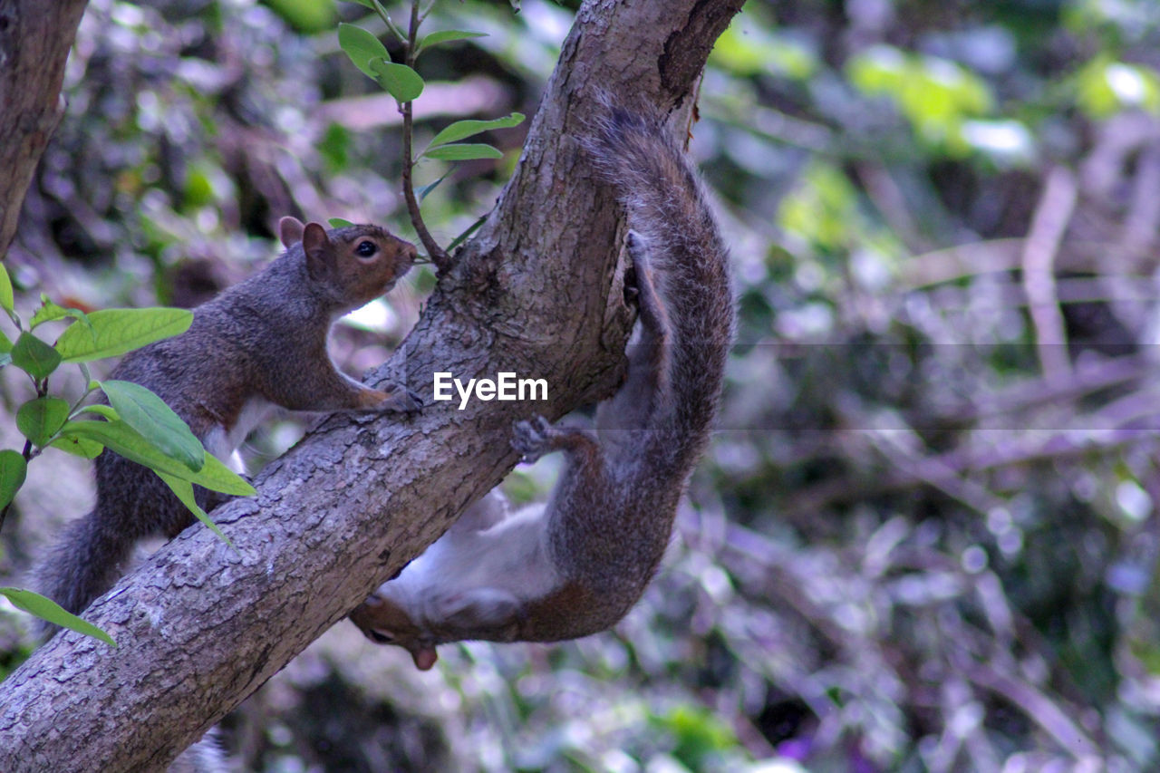 animal themes, animal, tree, mammal, branch, animal wildlife, animals in the wild, plant, one animal, vertebrate, nature, focus on foreground, no people, day, primate, low angle view, side view, squirrel, outdoors, growth, whisker