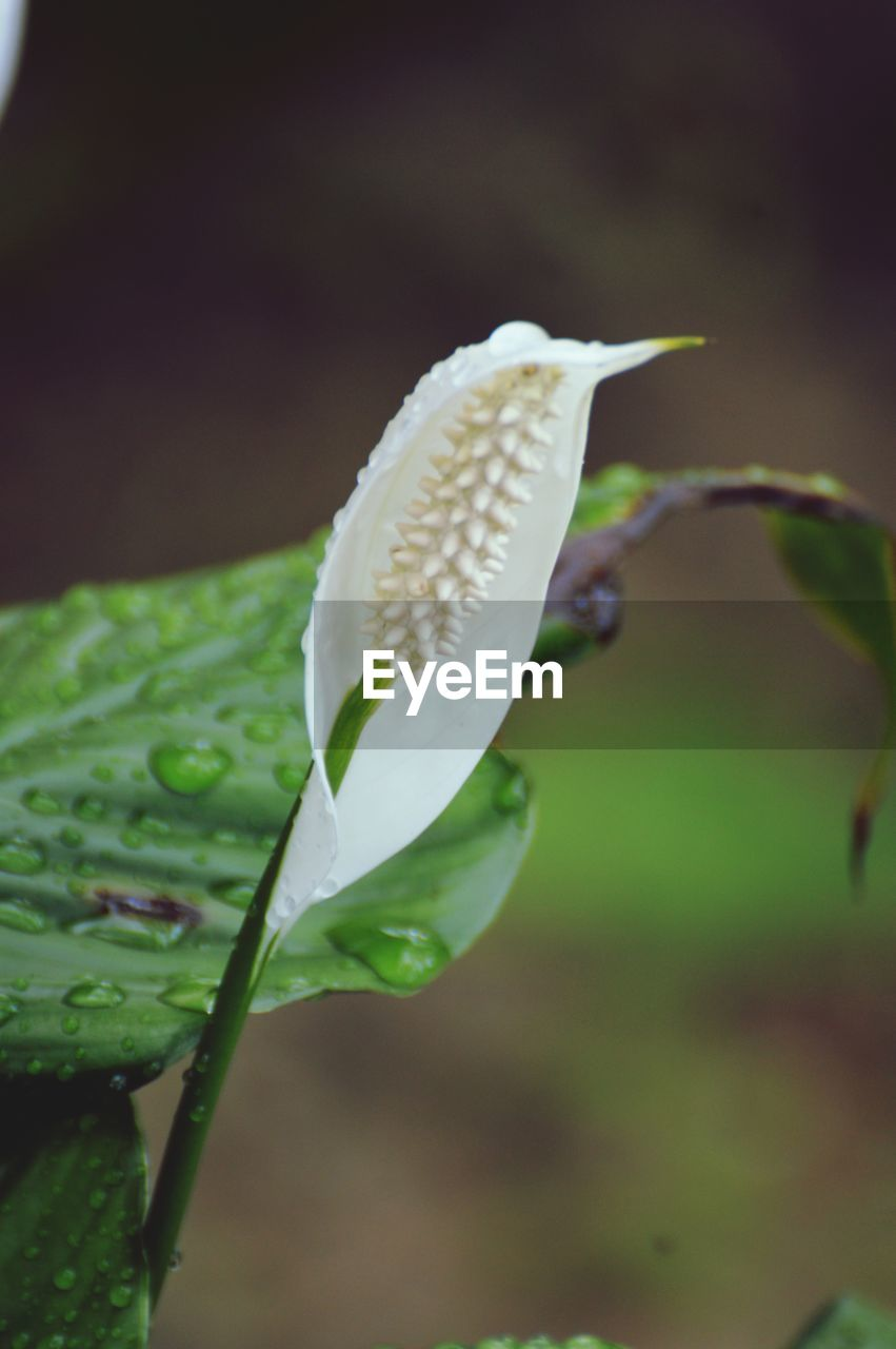 plant, growth, close-up, beauty in nature, vulnerability, fragility, nature, no people, freshness, flowering plant, flower, focus on foreground, leaf, plant part, petal, day, flower head, green color, selective focus, inflorescence, outdoors, pollen, raindrop