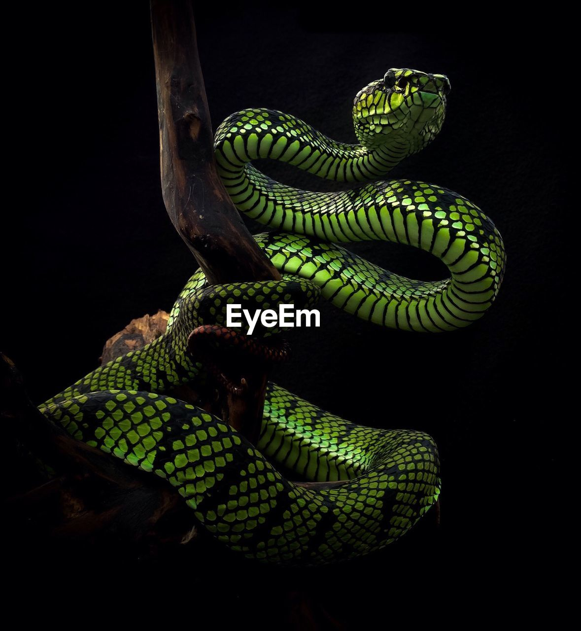 one animal, animal themes, snake, reptile, animal, animals in the wild, animal wildlife, vertebrate, green color, no people, close-up, black background, studio shot, animal body part, nature, indoors, curled up, focus on foreground, tree, poisonous, animal head, animal scale