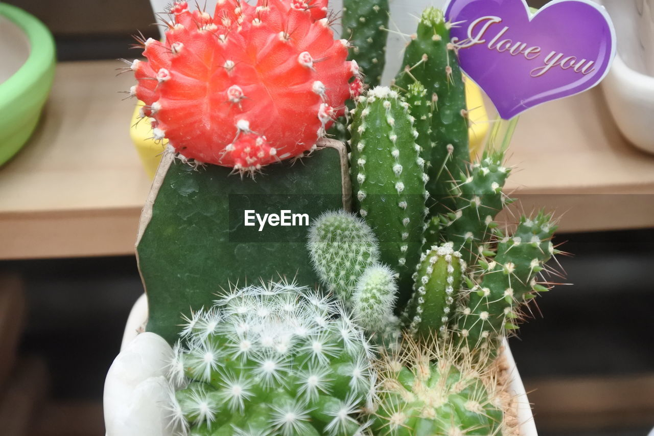 succulent plant, cactus, plant, flower, flowering plant, green color, close-up, focus on foreground, growth, communication, freshness, thorn, beauty in nature, no people, nature, potted plant, vulnerability, day, fragility, indoors, flower head, softness