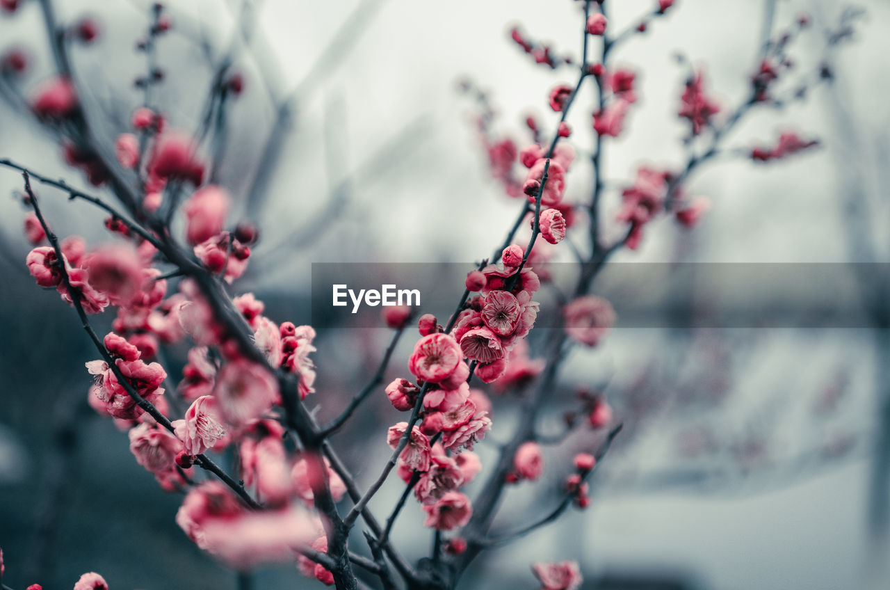 plant, growth, tree, beauty in nature, freshness, flower, selective focus, flowering plant, no people, close-up, branch, day, nature, focus on foreground, fragility, food and drink, berry fruit, food, fruit, springtime, outdoors, cherry tree, rowanberry, cherry blossom