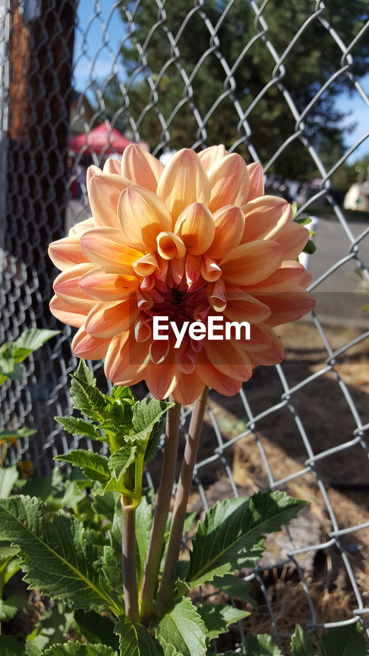 flowering plant, plant, flower, vulnerability, fragility, fence, growth, close-up, petal, beauty in nature, flower head, barrier, inflorescence, boundary, freshness, chainlink fence, focus on foreground, nature, plant part, day, no people, outdoors