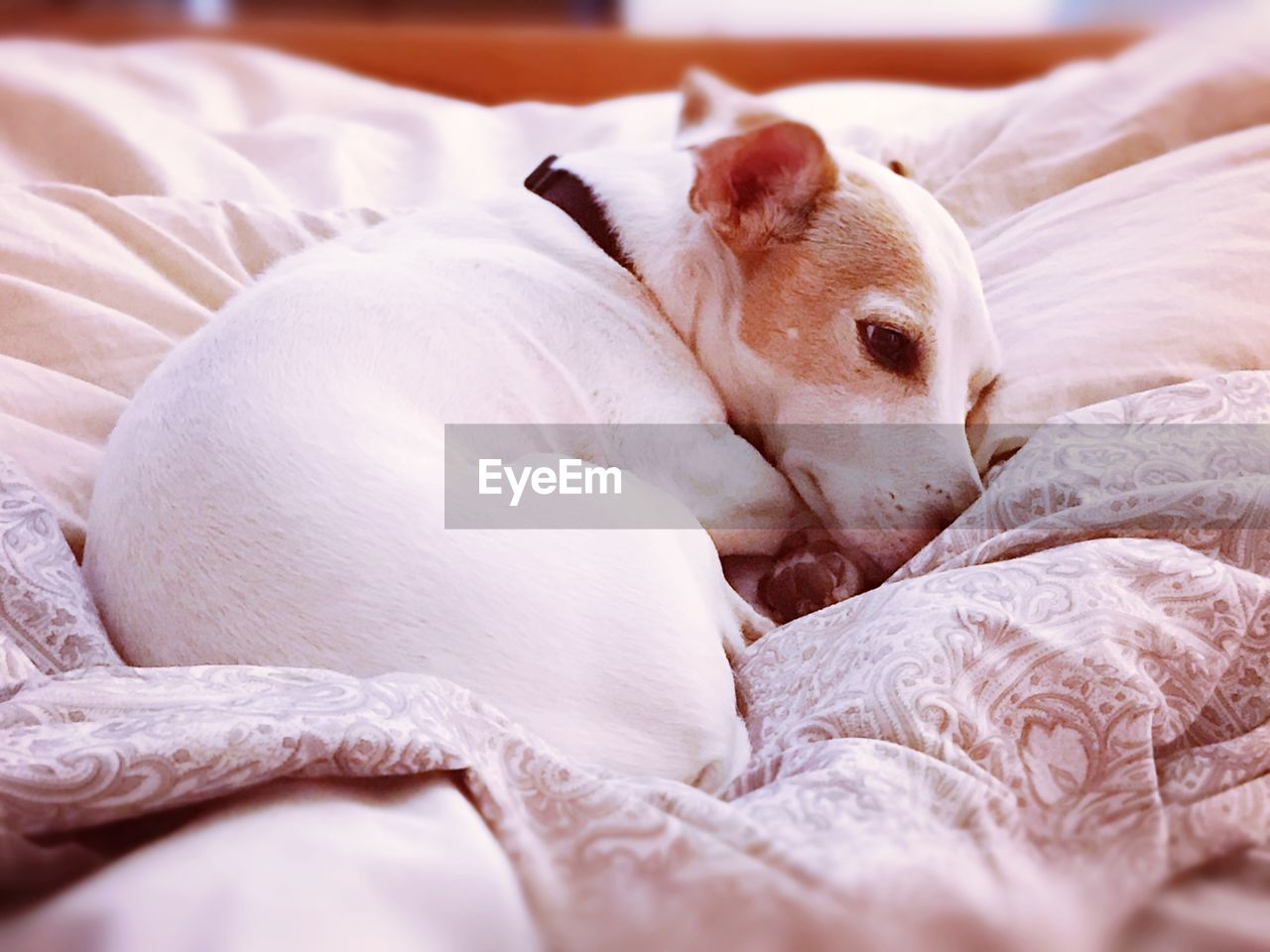 CLOSE-UP OF DOG IN BED