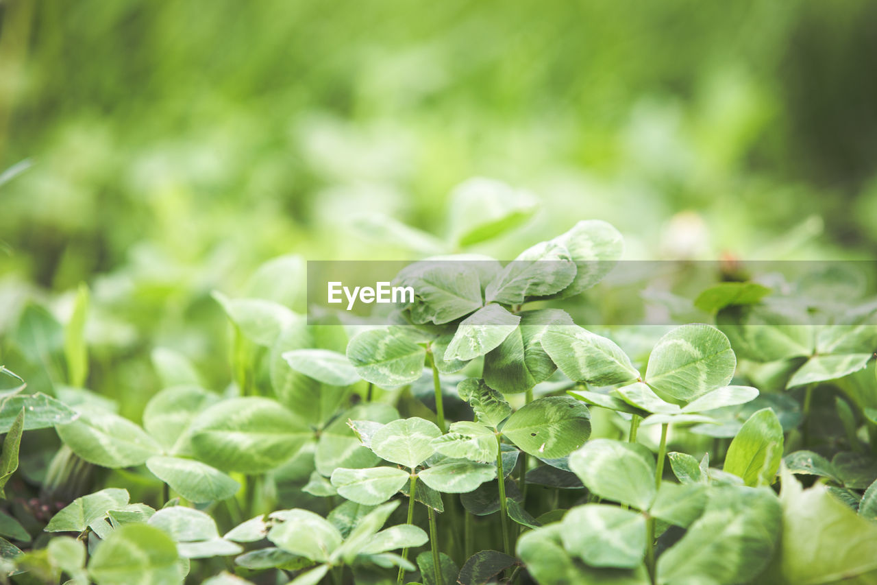 growth, green color, plant, leaf, plant part, beauty in nature, freshness, close-up, nature, no people, food and drink, selective focus, food, day, vegetable, tranquility, outdoors, focus on foreground, land, field, leaves