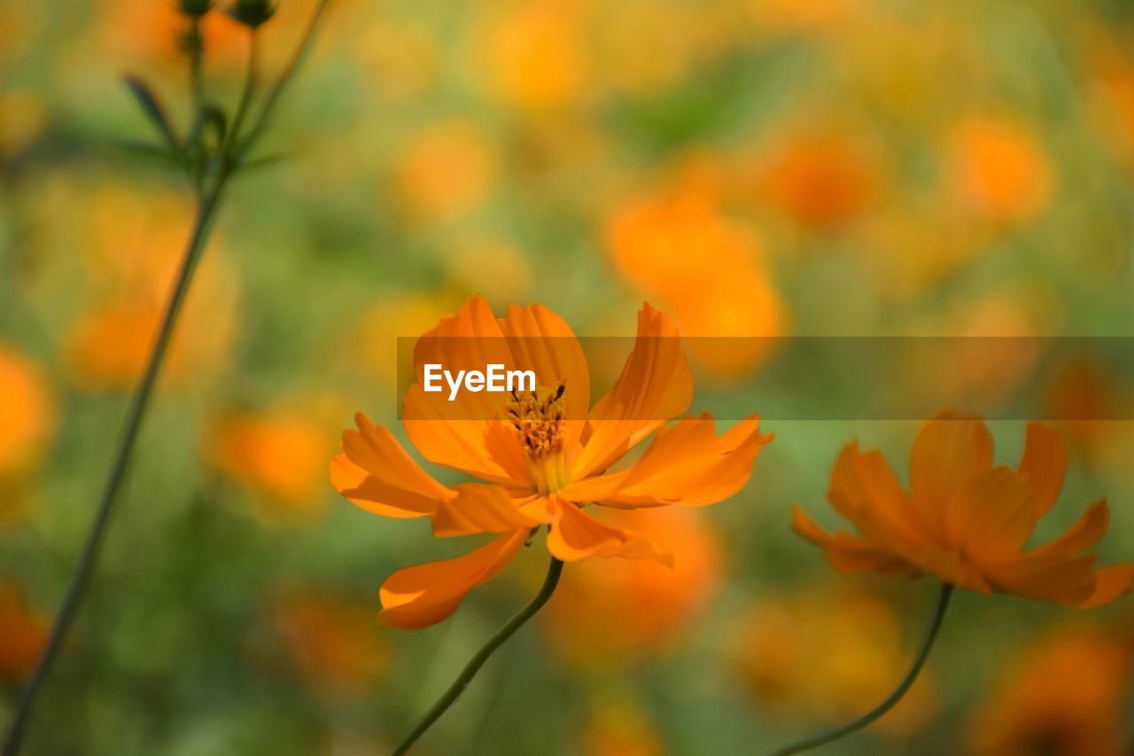 flowering plant, flower, fragility, vulnerability, freshness, beauty in nature, plant, growth, petal, close-up, orange color, flower head, inflorescence, focus on foreground, pollen, nature, cosmos flower, no people, day, plant stem, springtime, orange