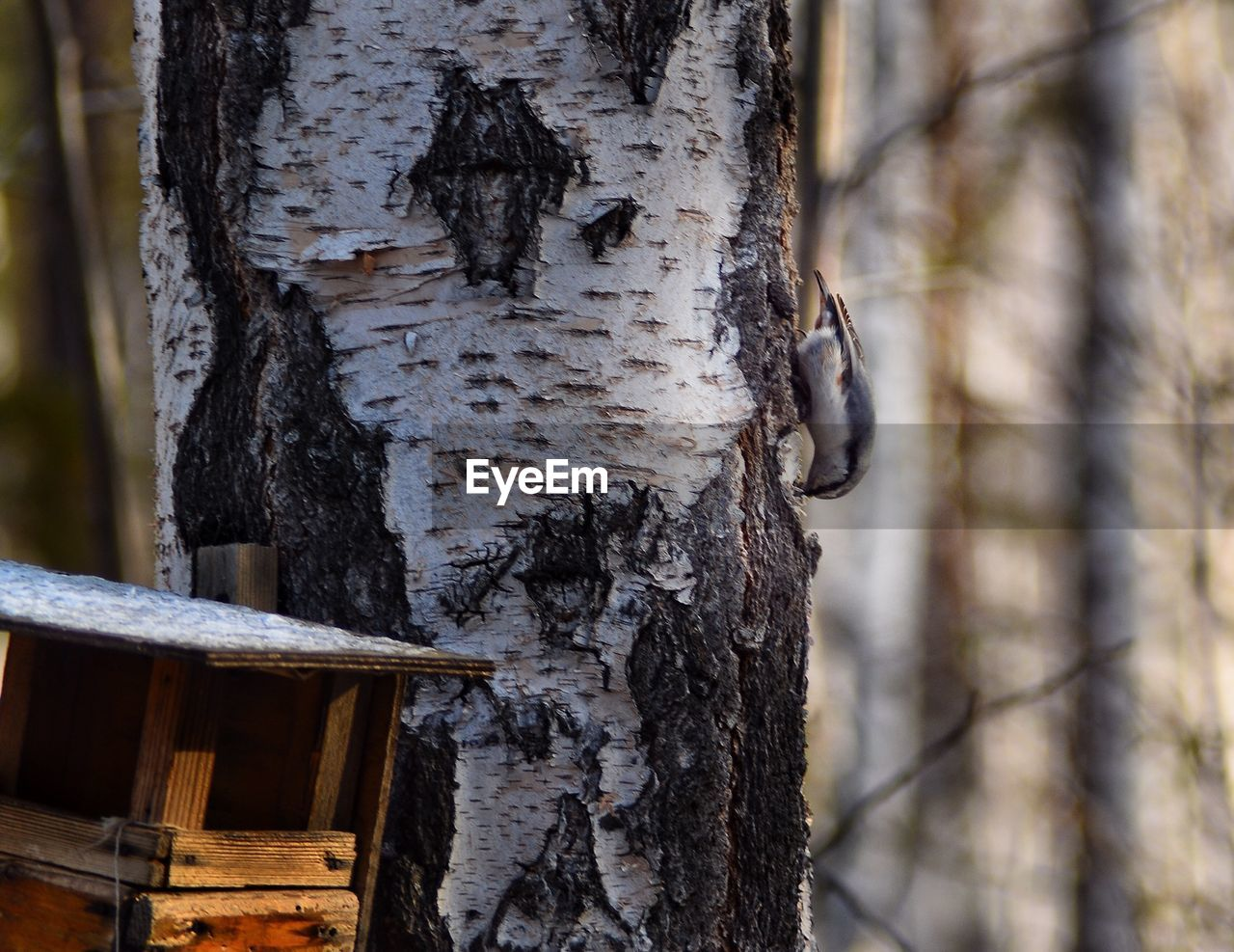 tree trunk, tree, trunk, focus on foreground, plant, wood - material, textured, nature, day, forest, close-up, outdoors, no people, land, growth, plant bark, bark, pattern, birch tree, rough