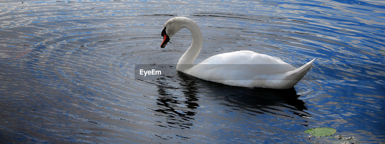 Schwan  Animals In The Wild Bird Freshwater Bird Lake Nature One Animal Swan Water White Color