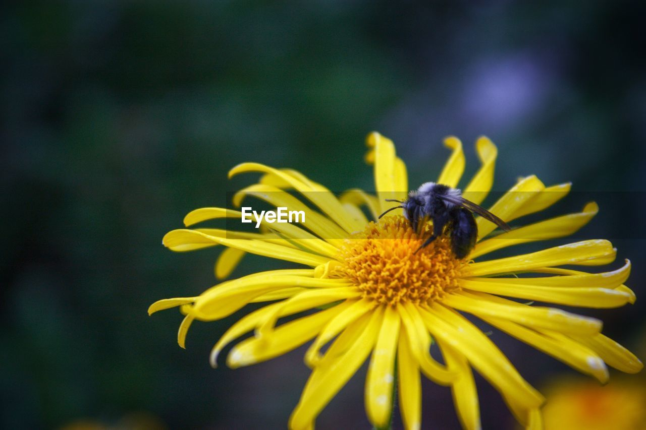 flowering plant, flower, fragility, invertebrate, insect, vulnerability, freshness, animal themes, petal, animals in the wild, one animal, beauty in nature, animal, flower head, growth, animal wildlife, close-up, plant, yellow, bee, pollen, pollination, no people, outdoors