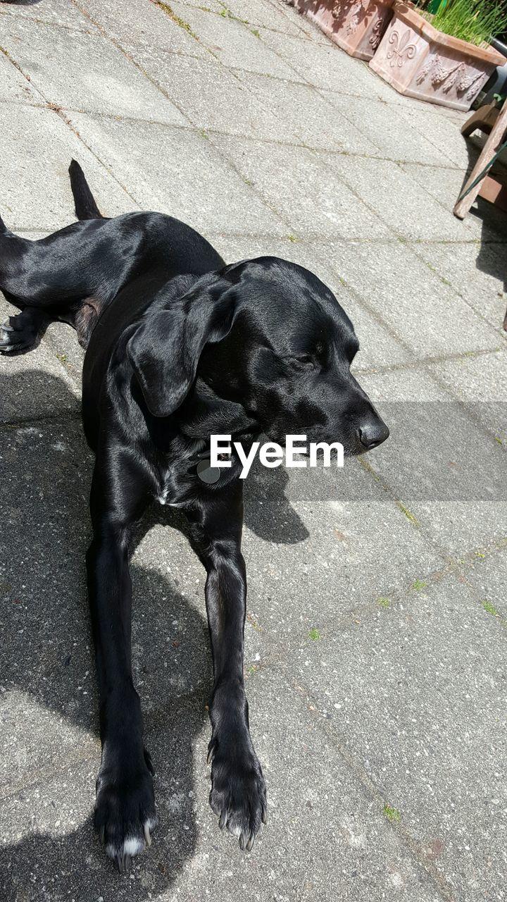 dog, pets, domestic animals, animal themes, black color, mammal, outdoors, black labrador, day, no people, full length