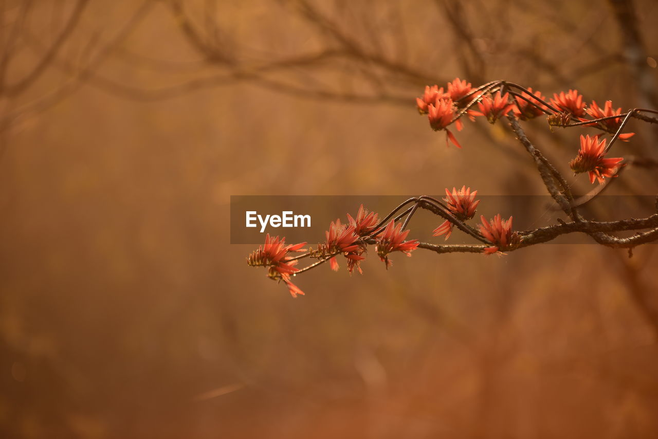 plant, beauty in nature, close-up, selective focus, vulnerability, focus on foreground, fragility, growth, nature, no people, flower, flowering plant, red, day, branch, freshness, outdoors, tree, orange color, autumn