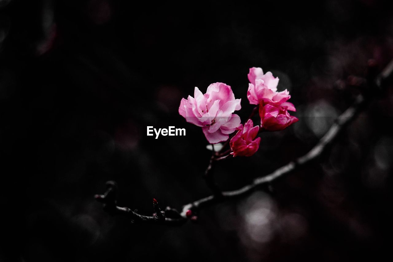 flower, nature, beauty in nature, growth, fragility, blossom, petal, no people, blooming, freshness, spring, branch, close-up, outdoors, flower head, day