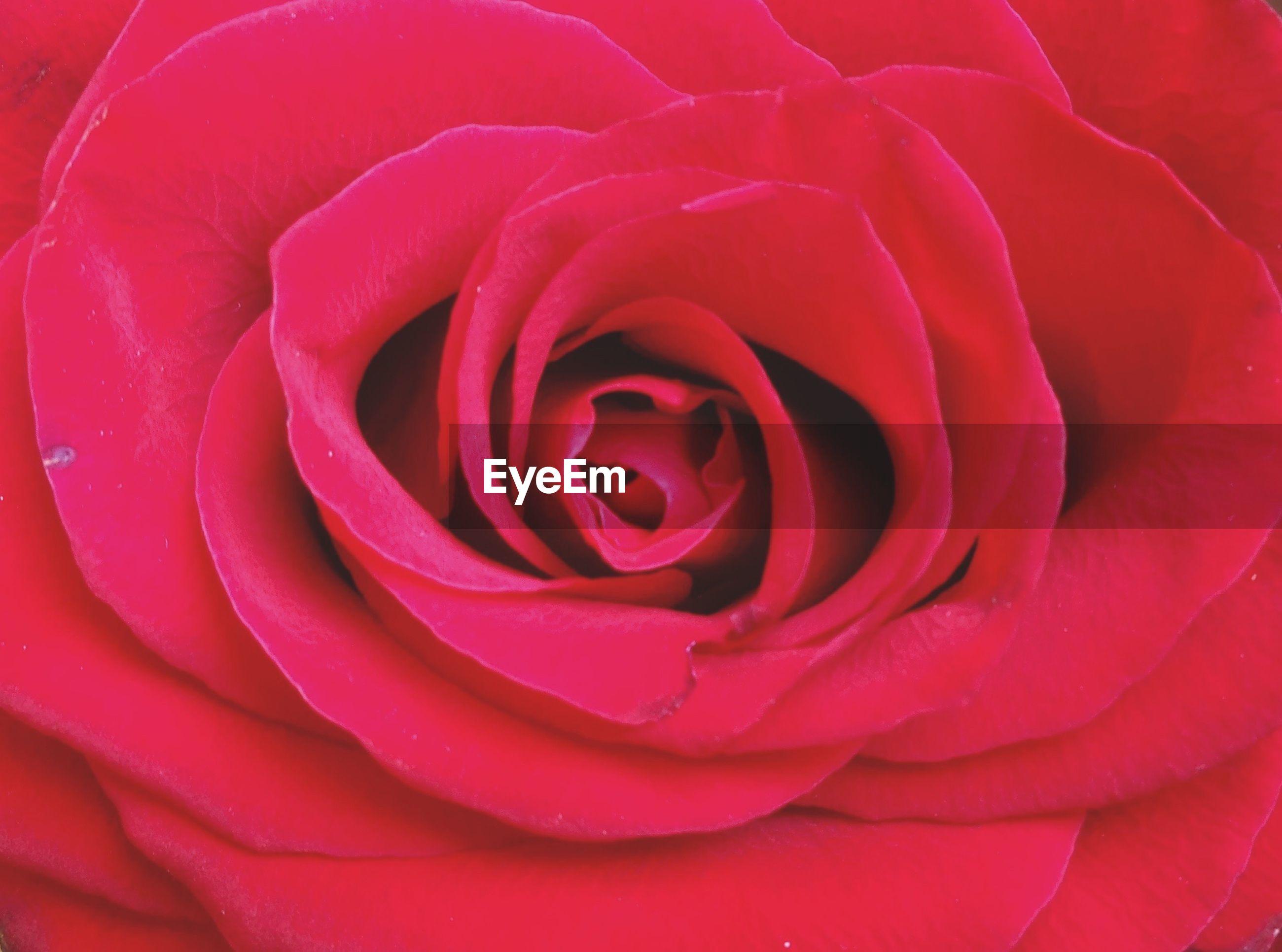 Macro shot of red rose