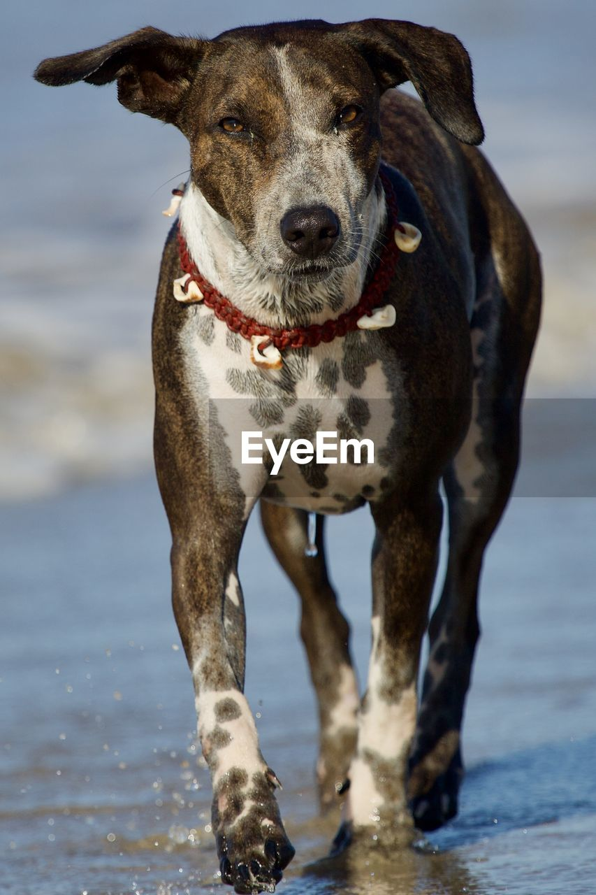 one animal, mammal, canine, dog, animal, animal themes, domestic animals, domestic, pets, portrait, looking at camera, water, vertebrate, beach, focus on foreground, day, land, motion, sea, no people, weimaraner