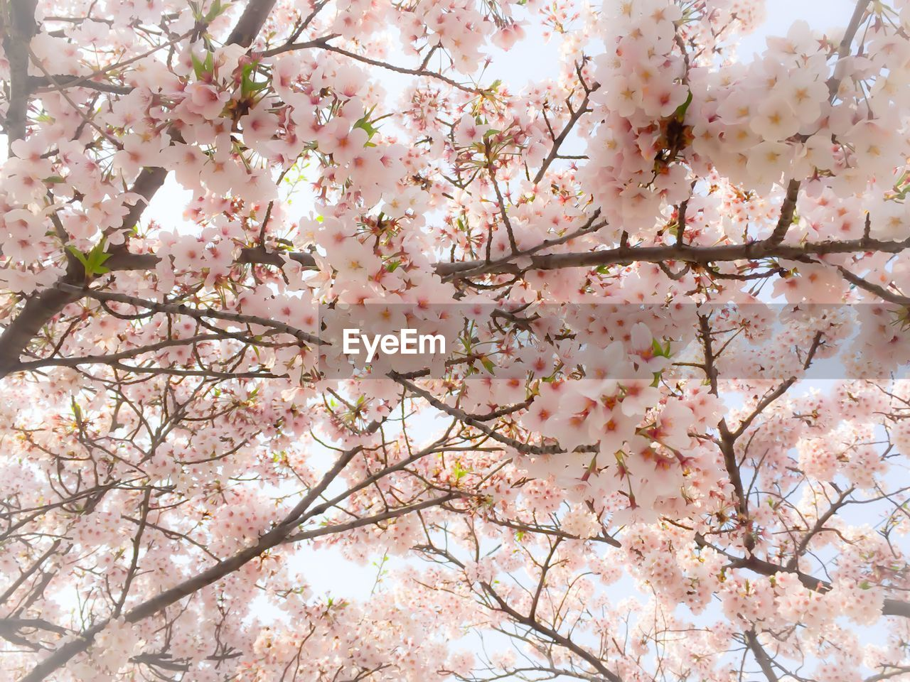 flower, blossom, tree, branch, cherry blossom, beauty in nature, fragility, springtime, freshness, cherry tree, nature, growth, pink color, botany, apple blossom, almond tree, no people, low angle view, orchard, day, twig, backgrounds, magnolia, white color, outdoors, full frame, petal, close-up, plum blossom, flower head, sky