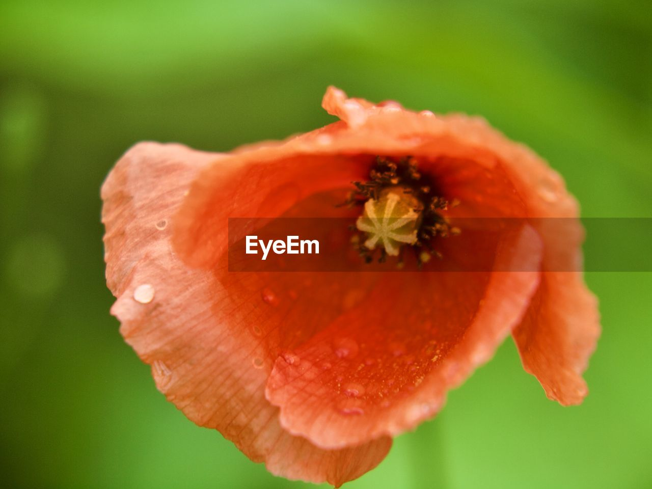 flowering plant, flower, freshness, close-up, beauty in nature, plant, petal, inflorescence, vulnerability, fragility, flower head, pollen, growth, no people, focus on foreground, orange color, nature, poppy, selective focus, orange