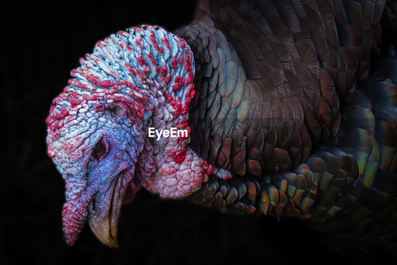 Close-up of wild turkey