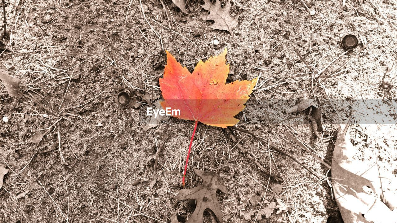 leaf, autumn, change, dry, close-up, outdoors, day, high angle view, maple leaf, no people, nature, maple, beauty in nature, fragility