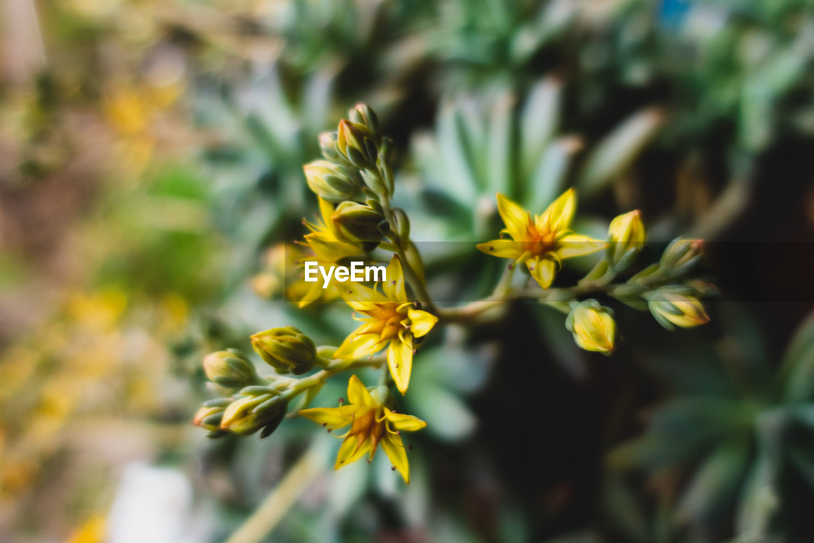 CLOSE-UP OF YELLOW FLOWERING PLANT AGAINST BRIGHT SUN