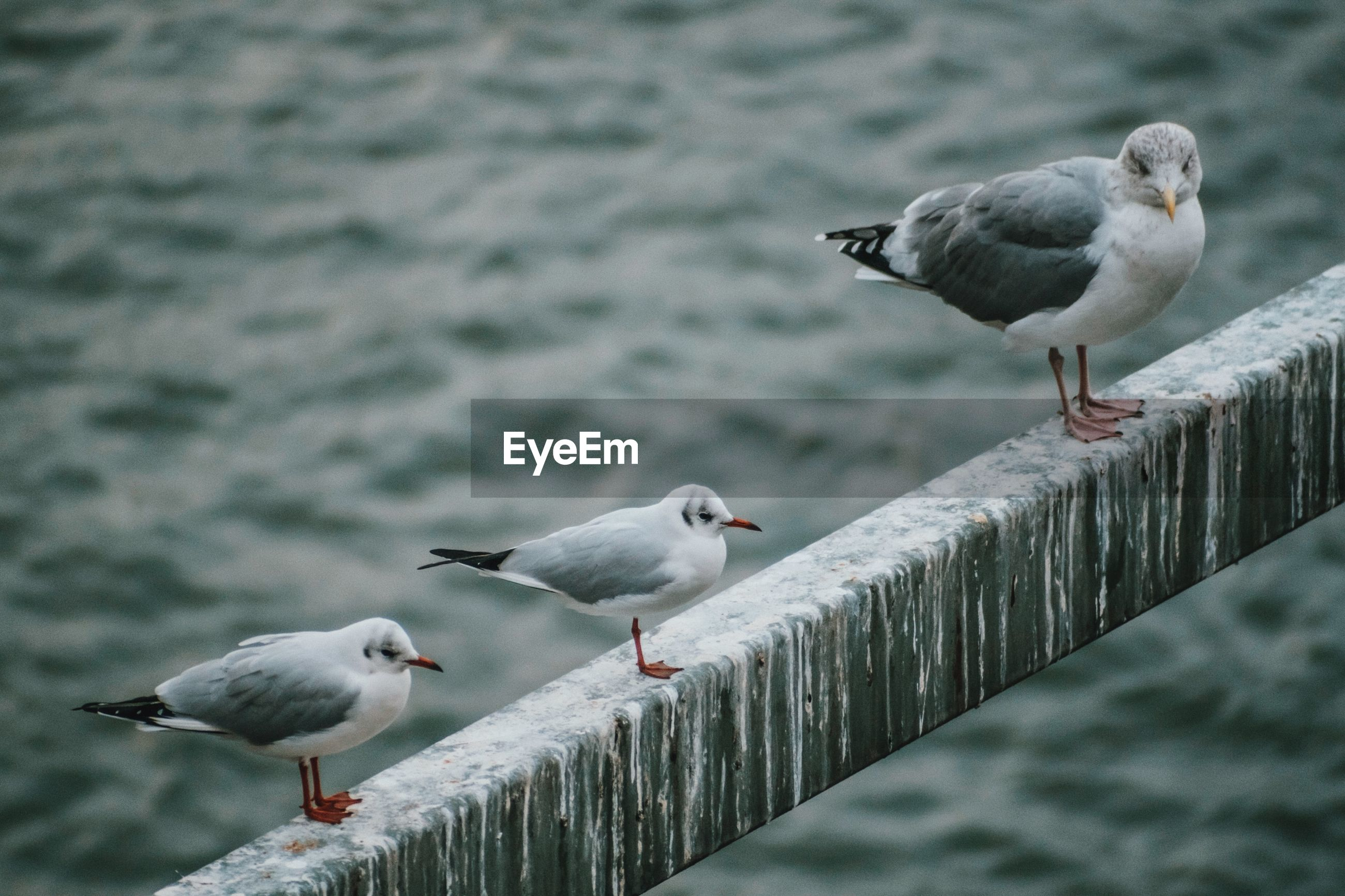 Seagulls perching on railing against water