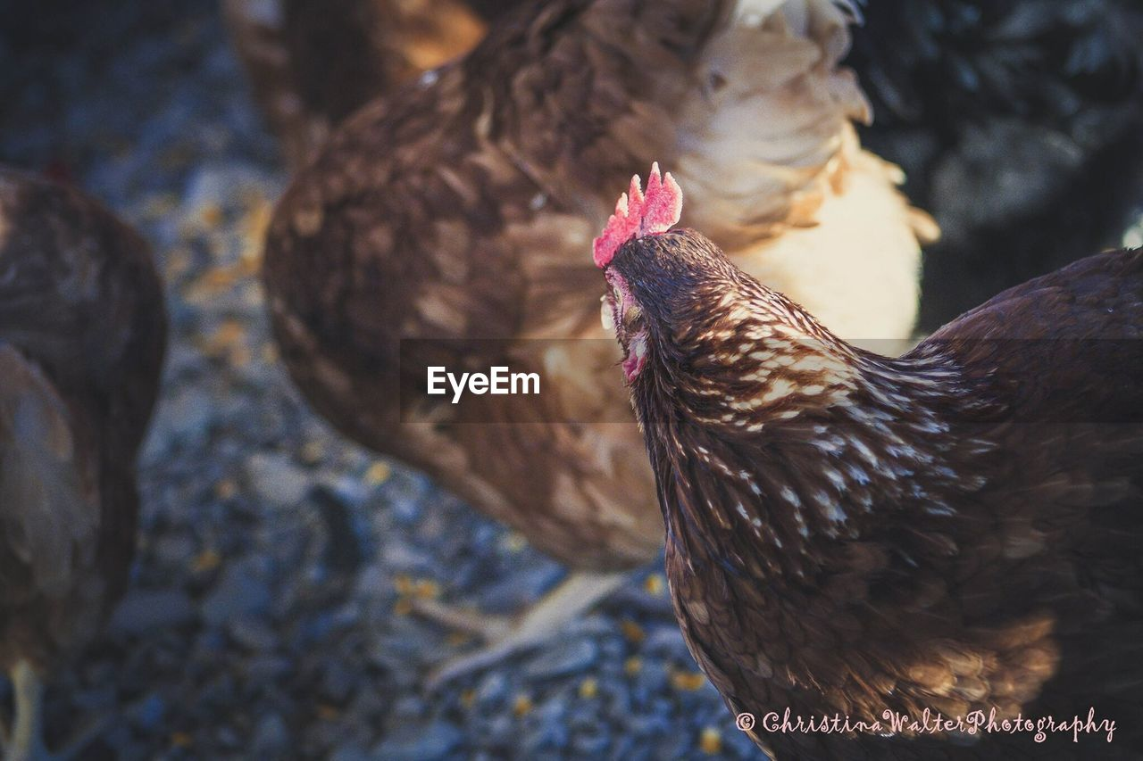 bird, chicken - bird, livestock, domestic animals, animal themes, rooster, no people, cockerel, close-up, outdoors, nature, day