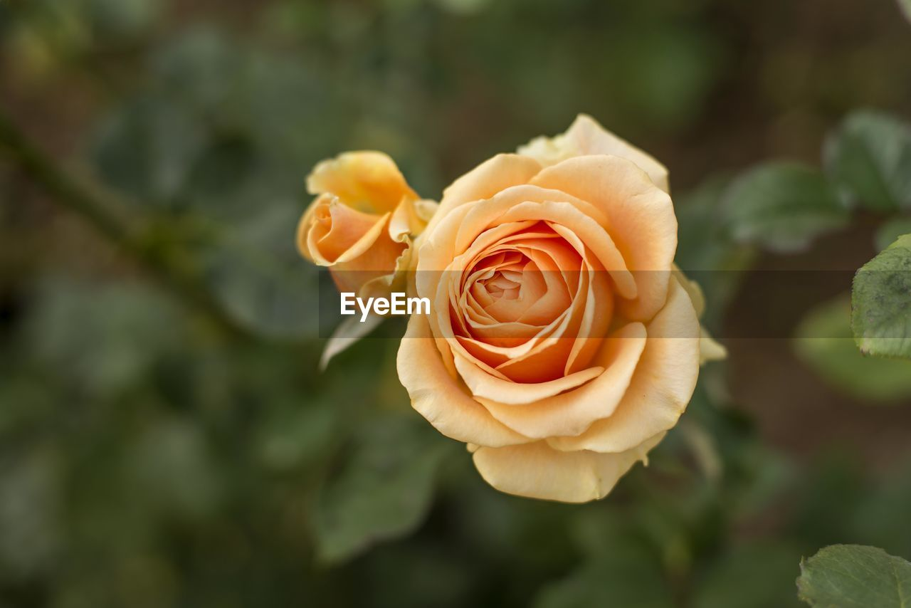 CLOSE-UP OF ROSE ON PLANT